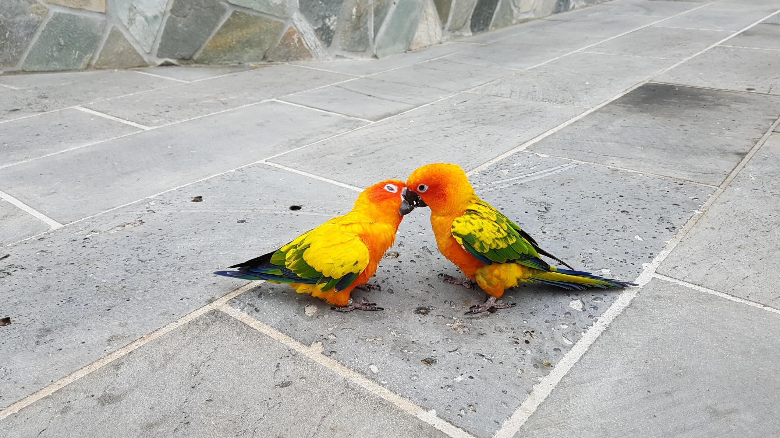 71 Foto Gambar Burung Lovebird Ciuman HD Terbaru Gratis