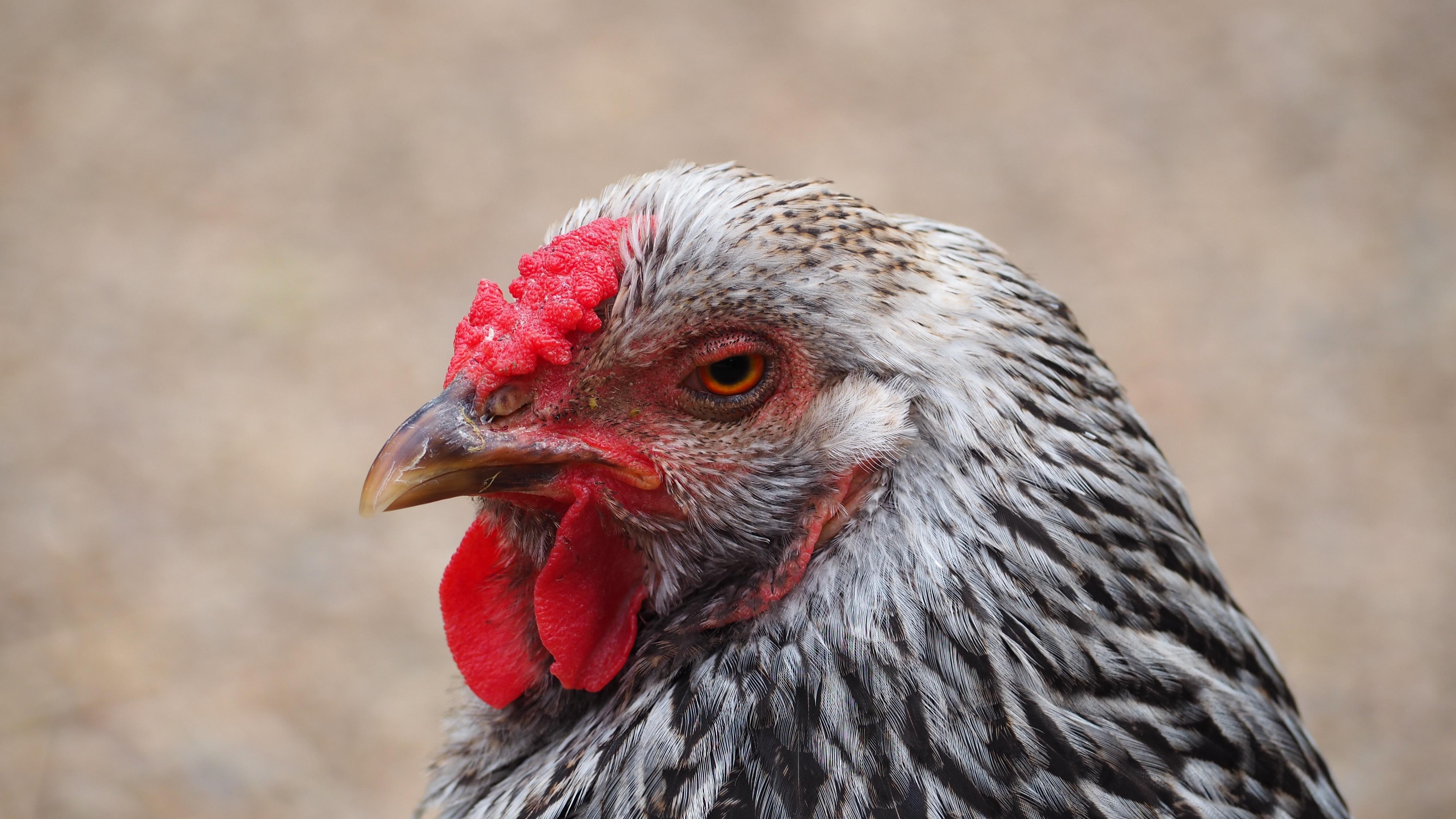 Fotos gratis : pájaro, ala, fauna silvestre, patrón, retrato, pico ...