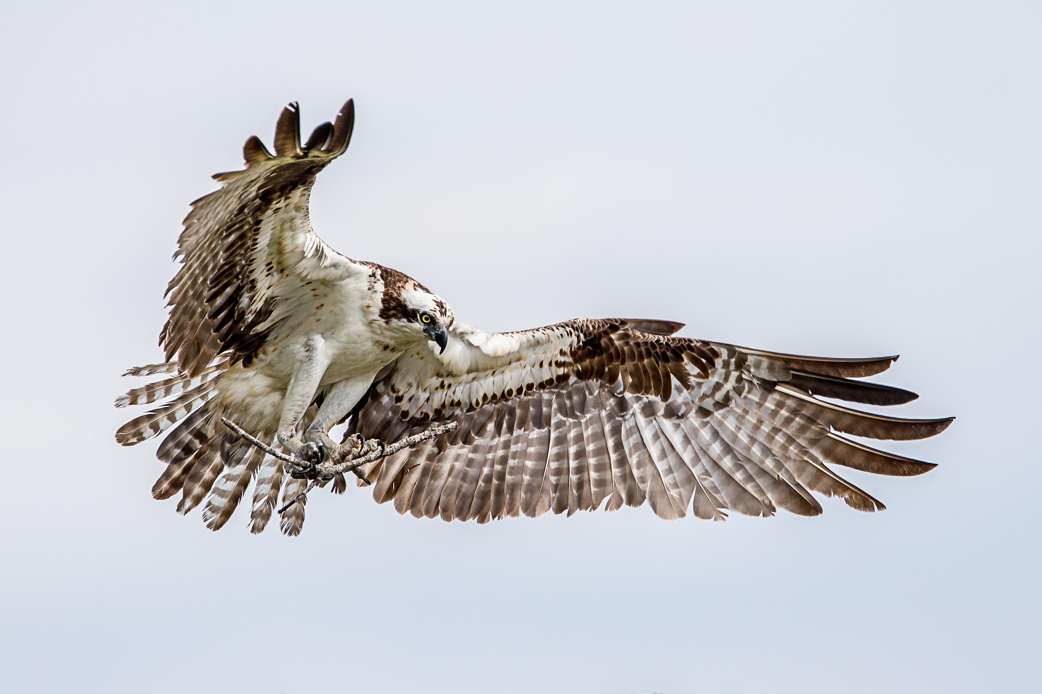 banco de imagens pássaro asa fêmea animais selvagens Águia
