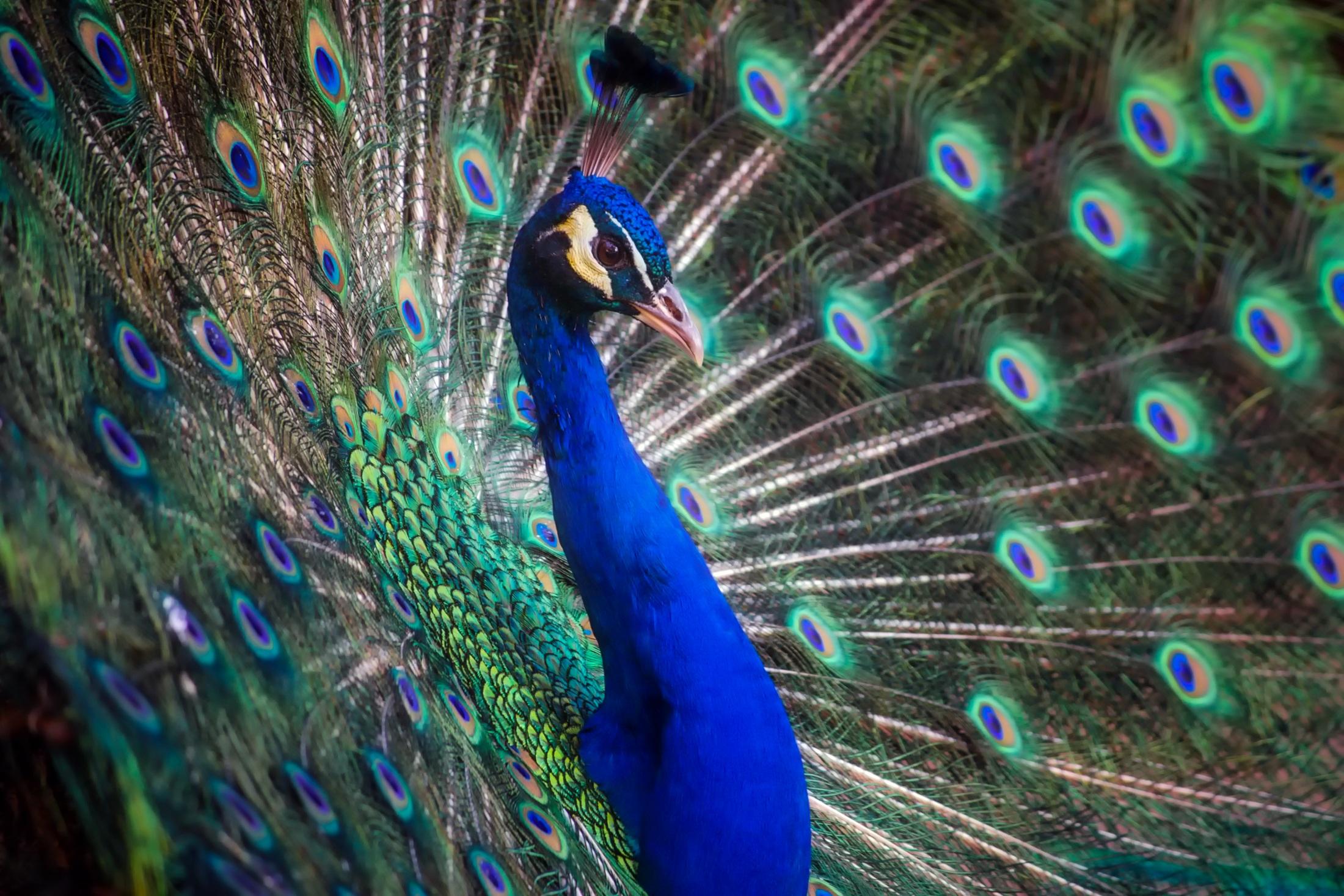 Голубой павлин картинки