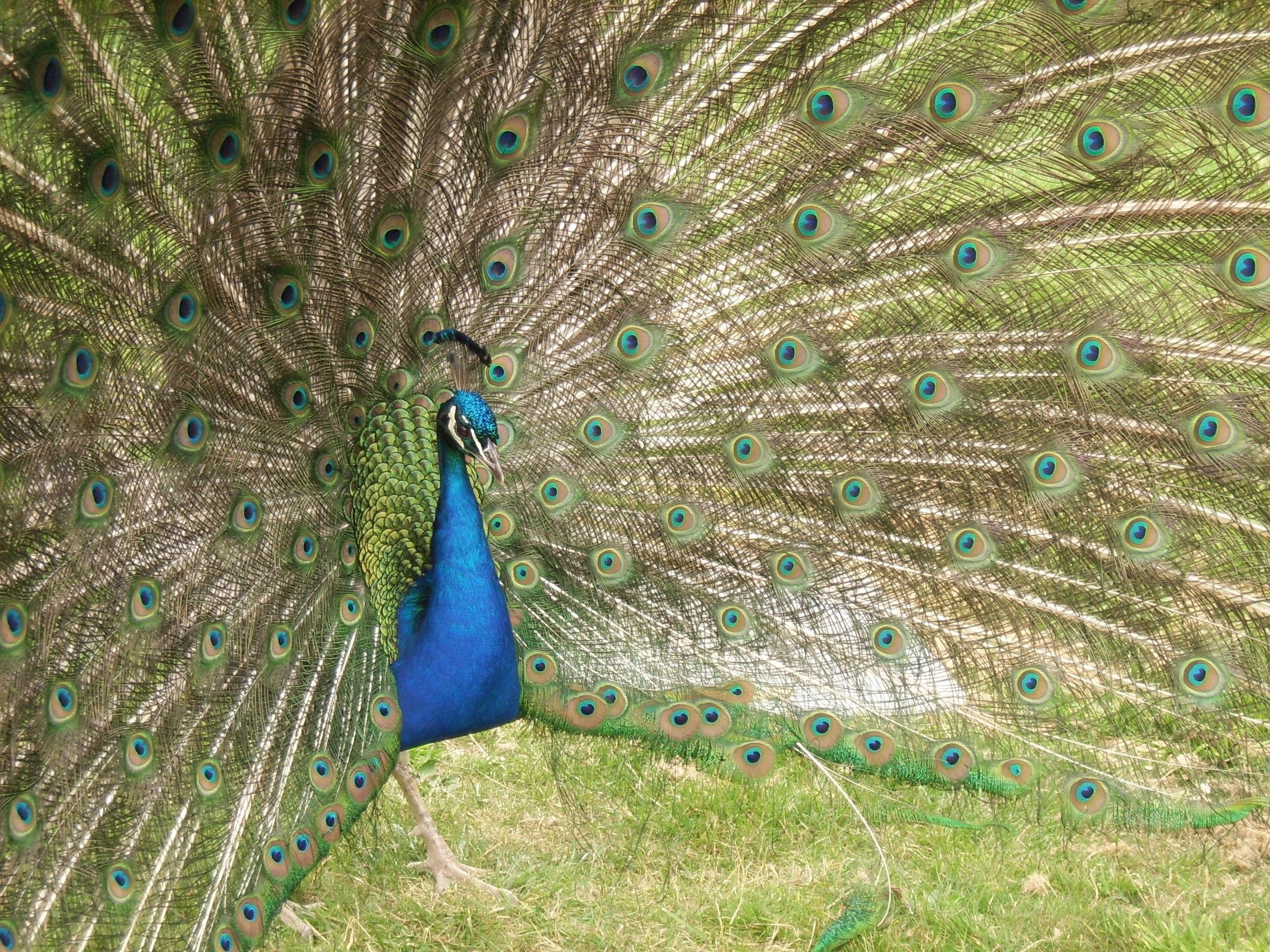 images gratuites oiseau aile vert couleur bleu faune paon les yeux plumes queue. Black Bedroom Furniture Sets. Home Design Ideas