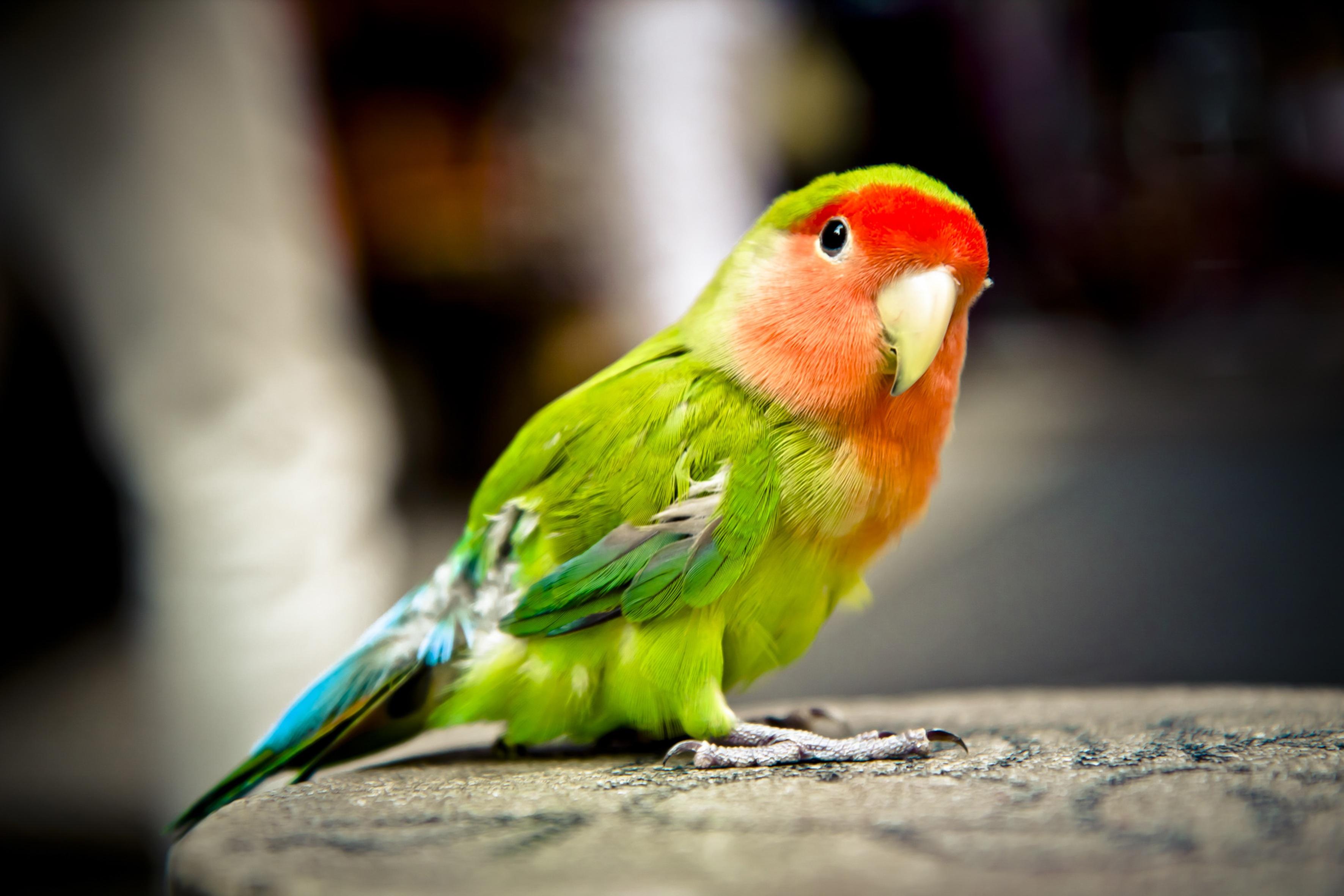 Картинка попугай, года свадьбы