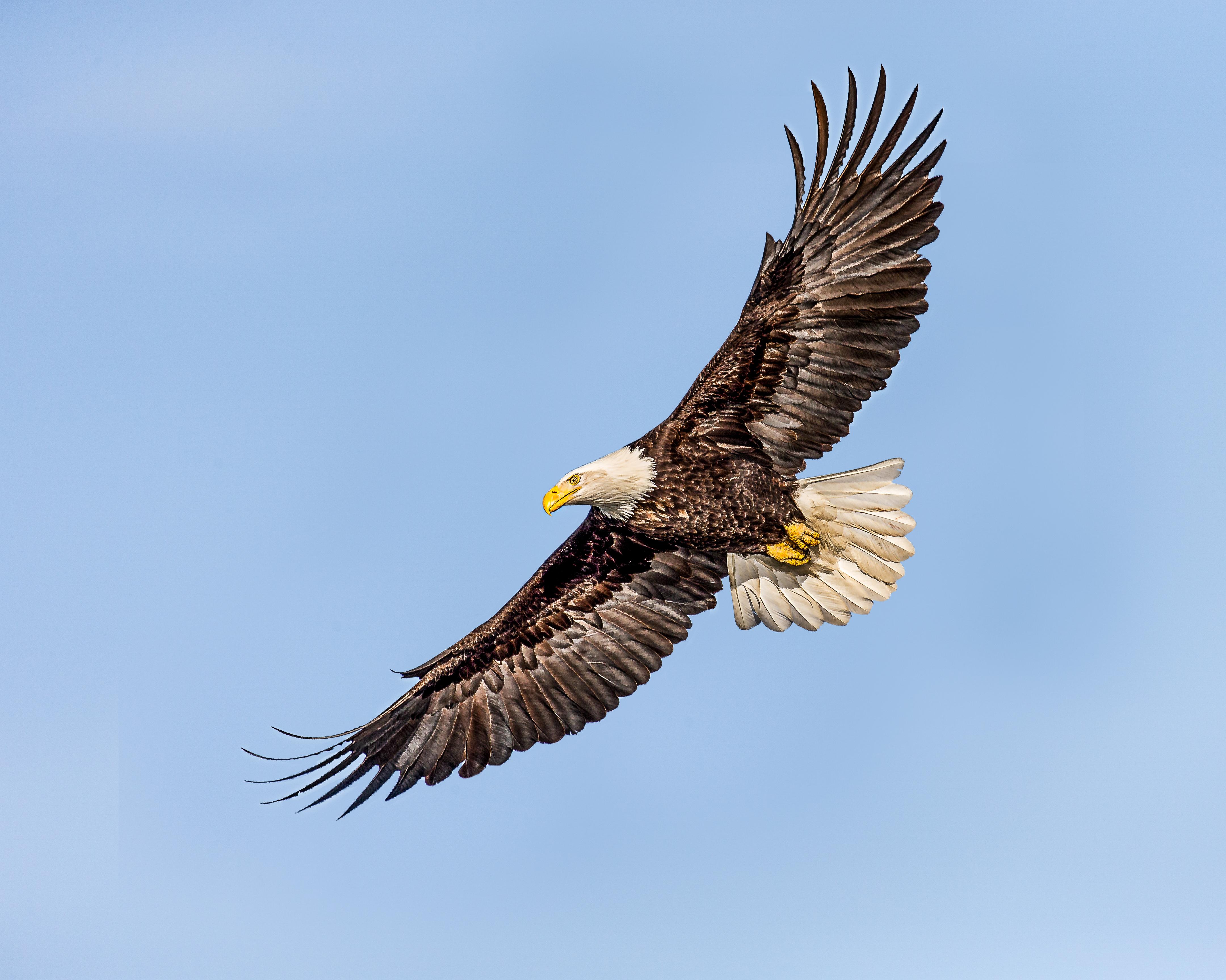 фото и картинки парящего орла