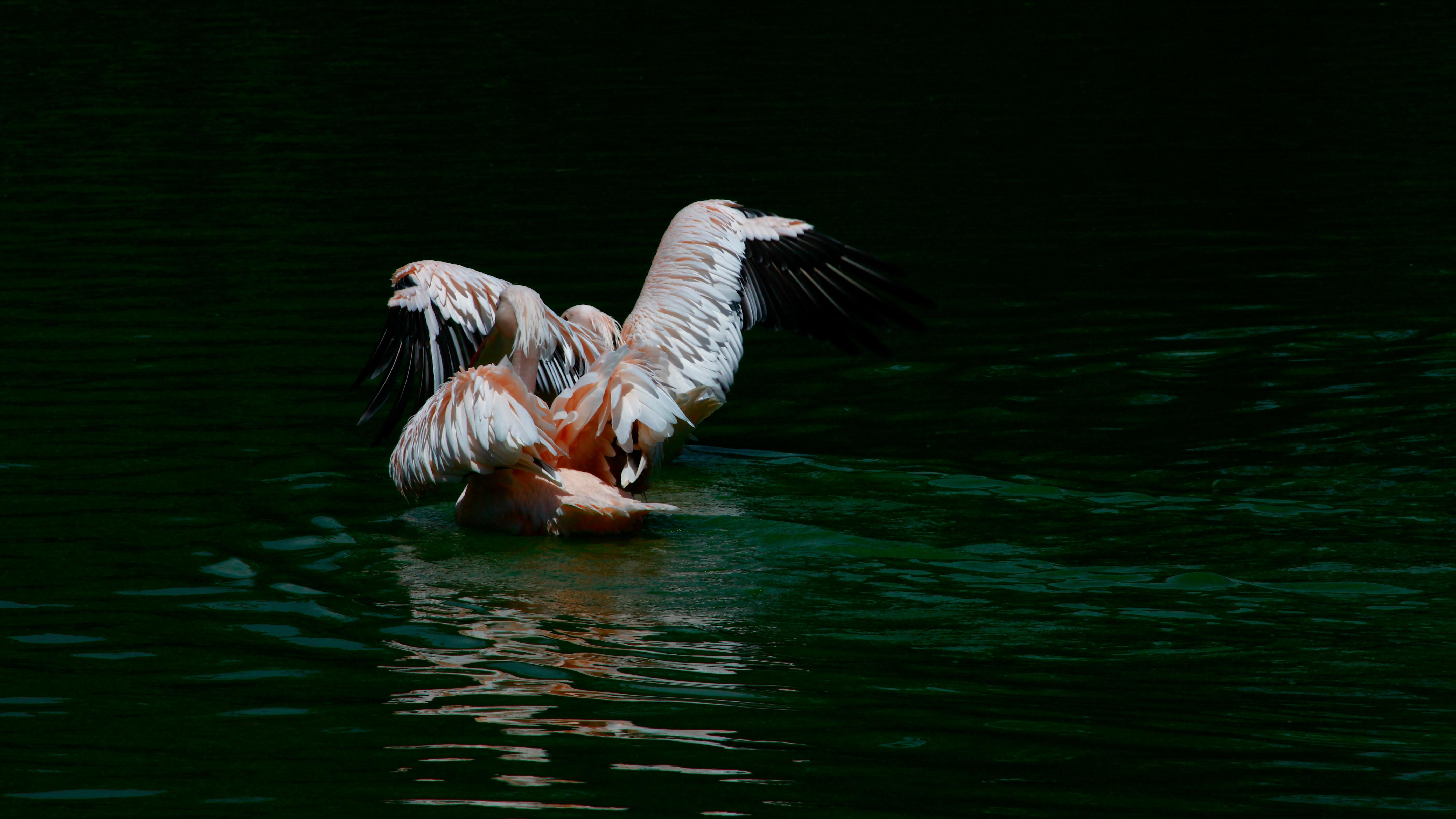 ελεύθερα μεγάλο λευκό πουλί