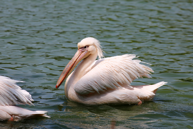 Fotos gratis p jaro ala pel cano ave marina fauna - Fotos de pelicanos ...