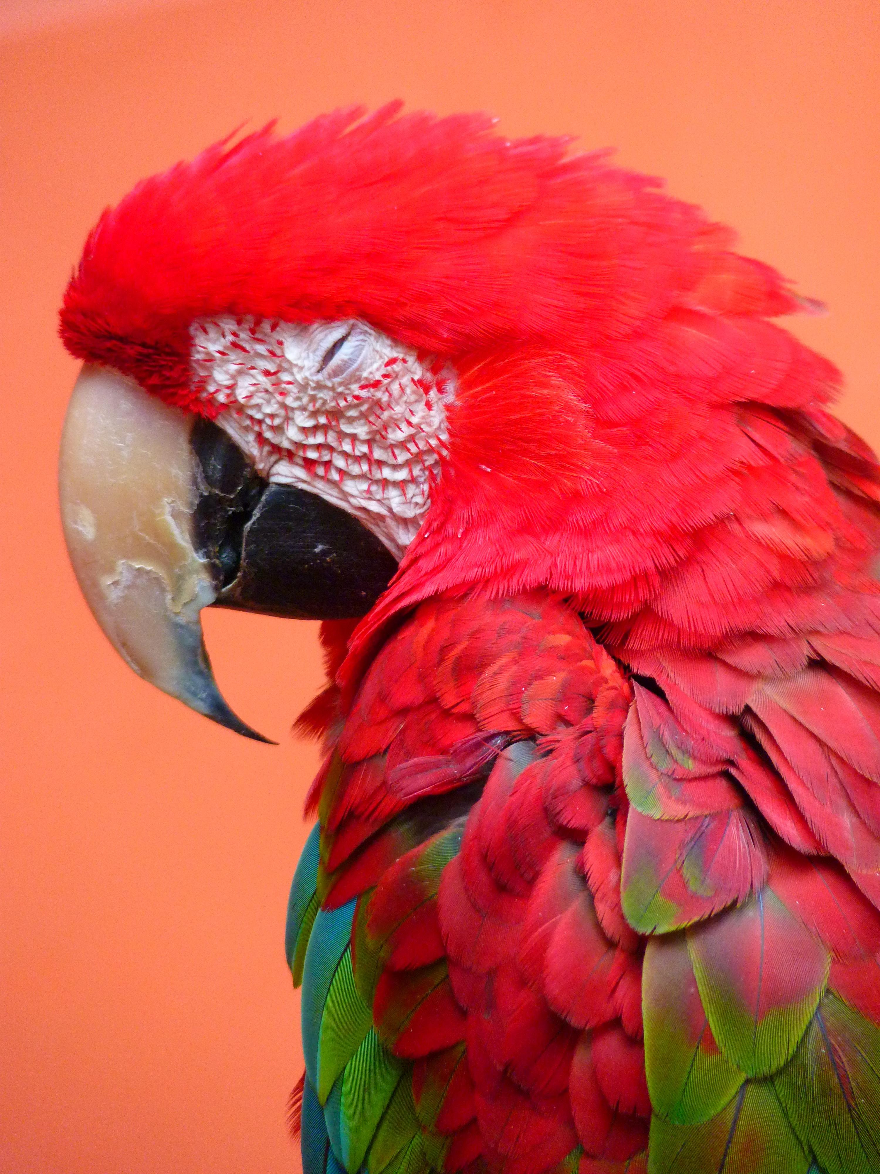 Цвет попугай картинка