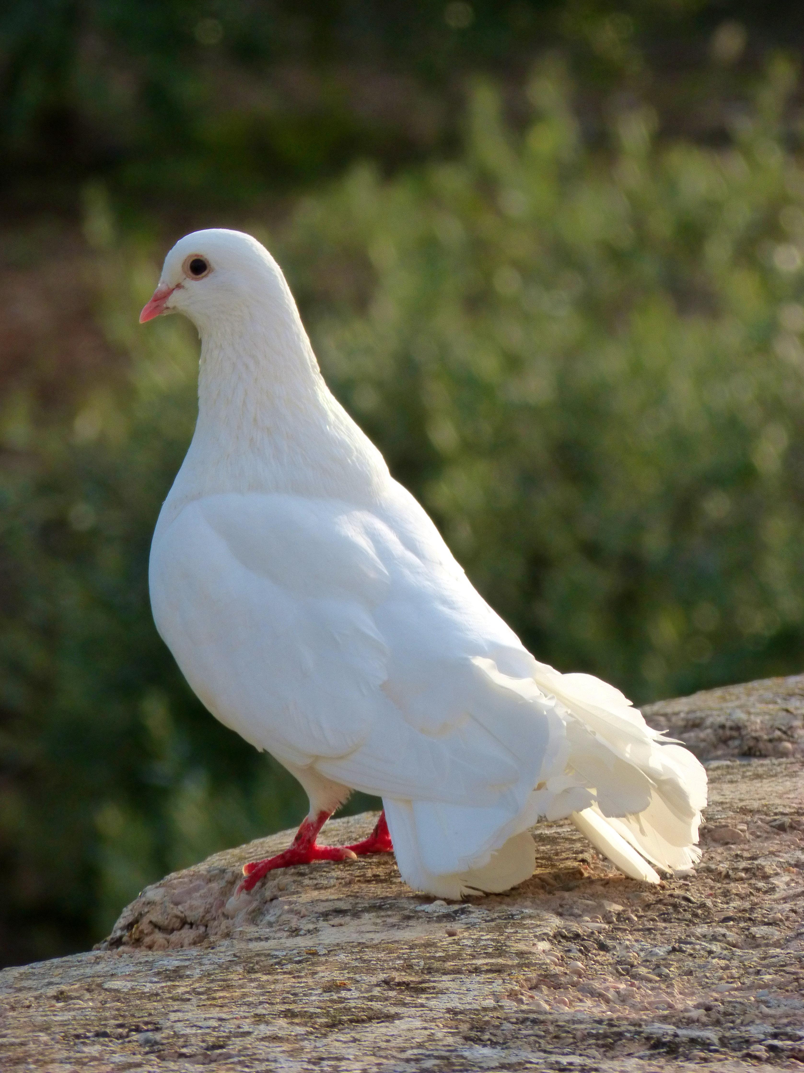 Открытка, голуби в картинках и фото