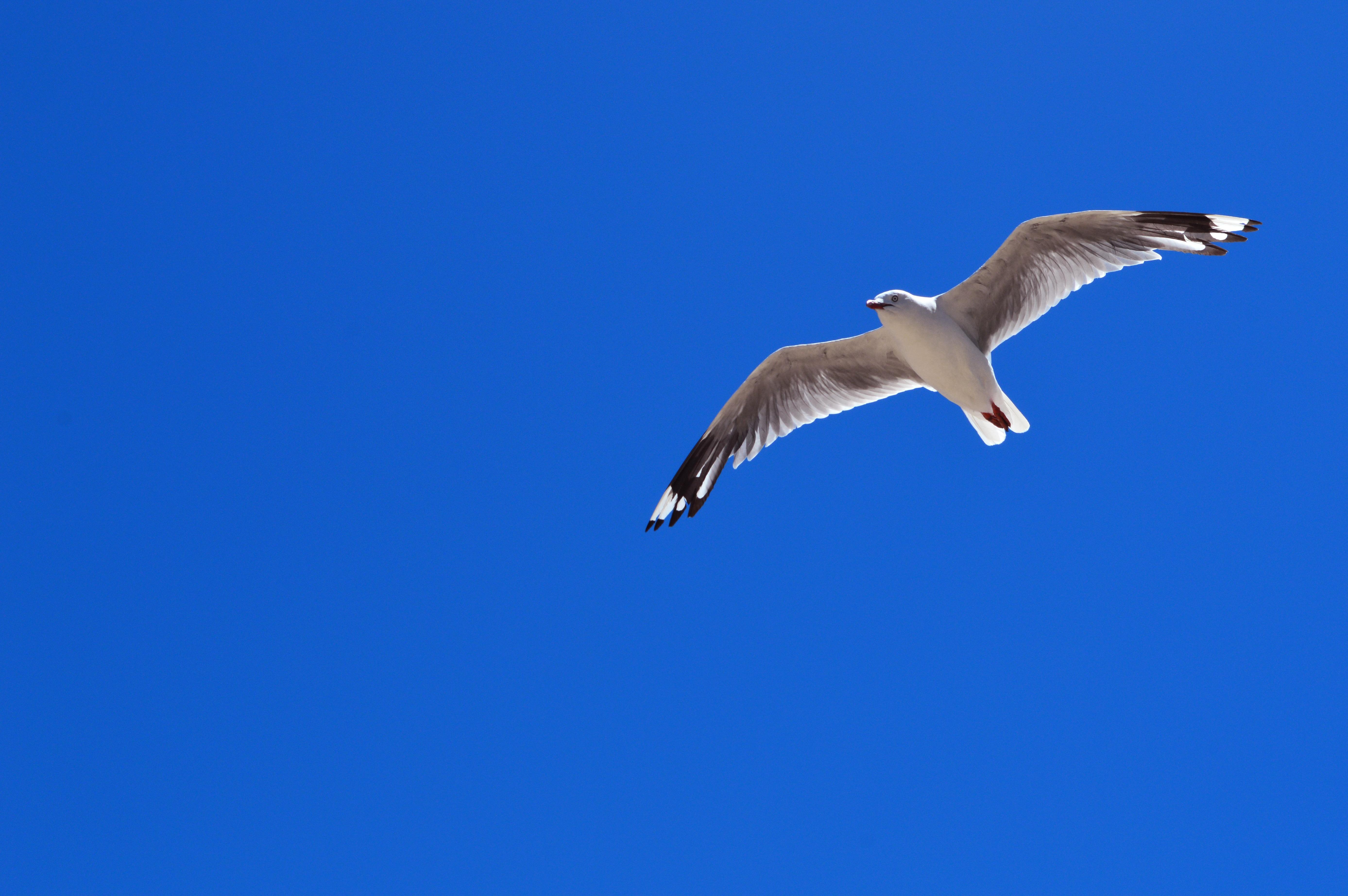 Images Gratuites Oiseau Aile Oiseau De Mer Mouette Le Bec Vol