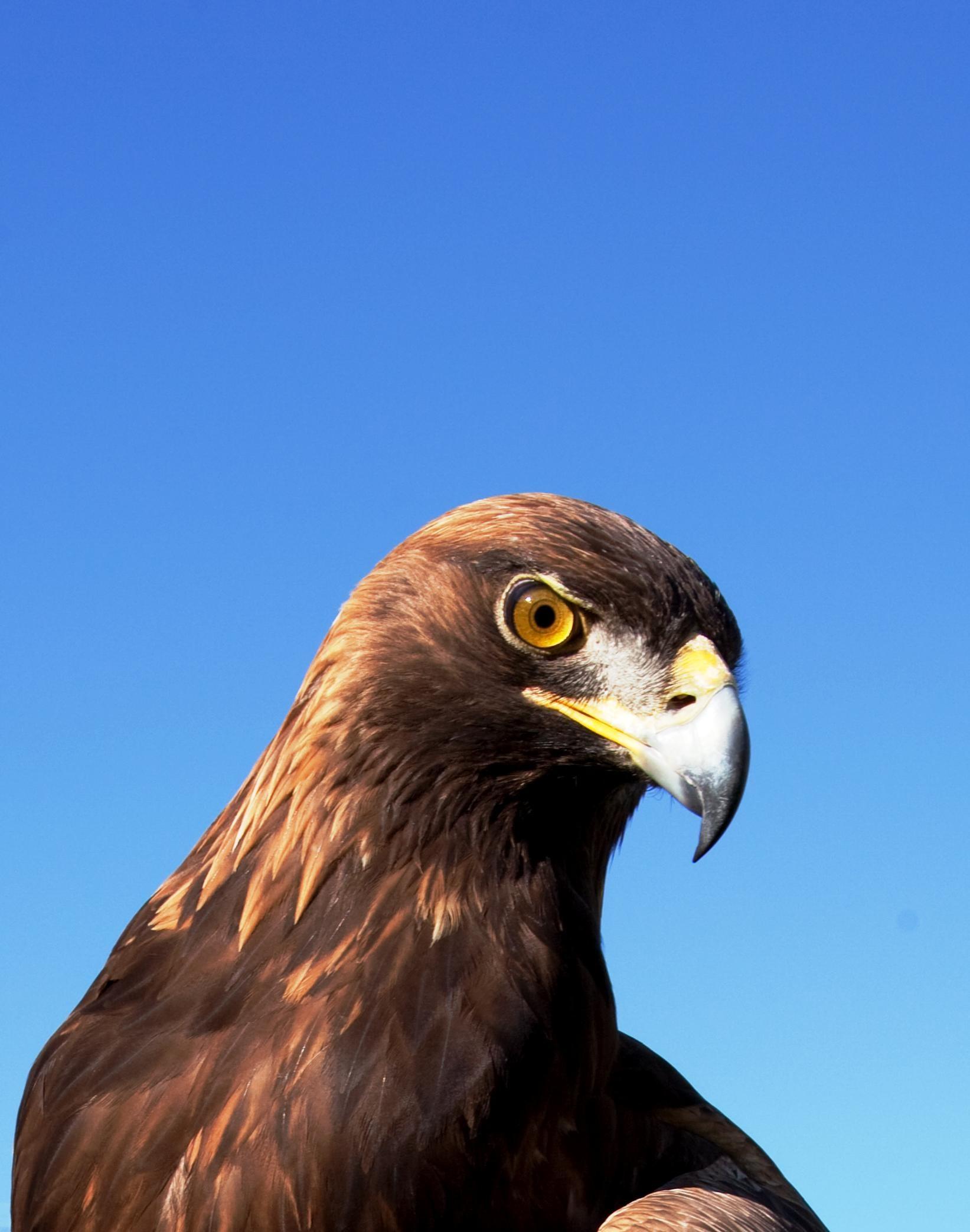 Download Gambar Burung Rajawali Pickini
