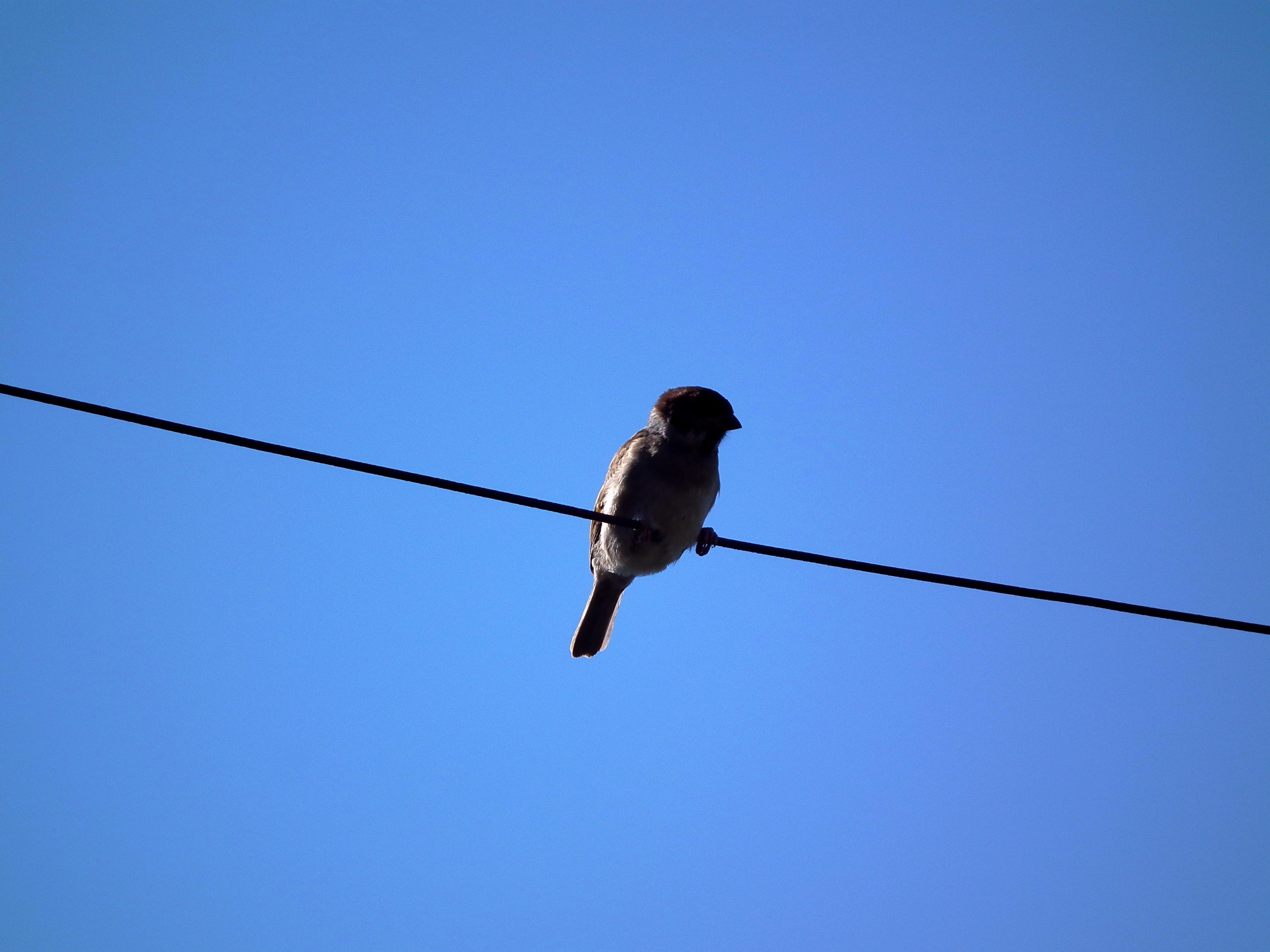 Kostenlose foto : Vogel, Flügel, Draht, Flug, braun, blau, blauer ...