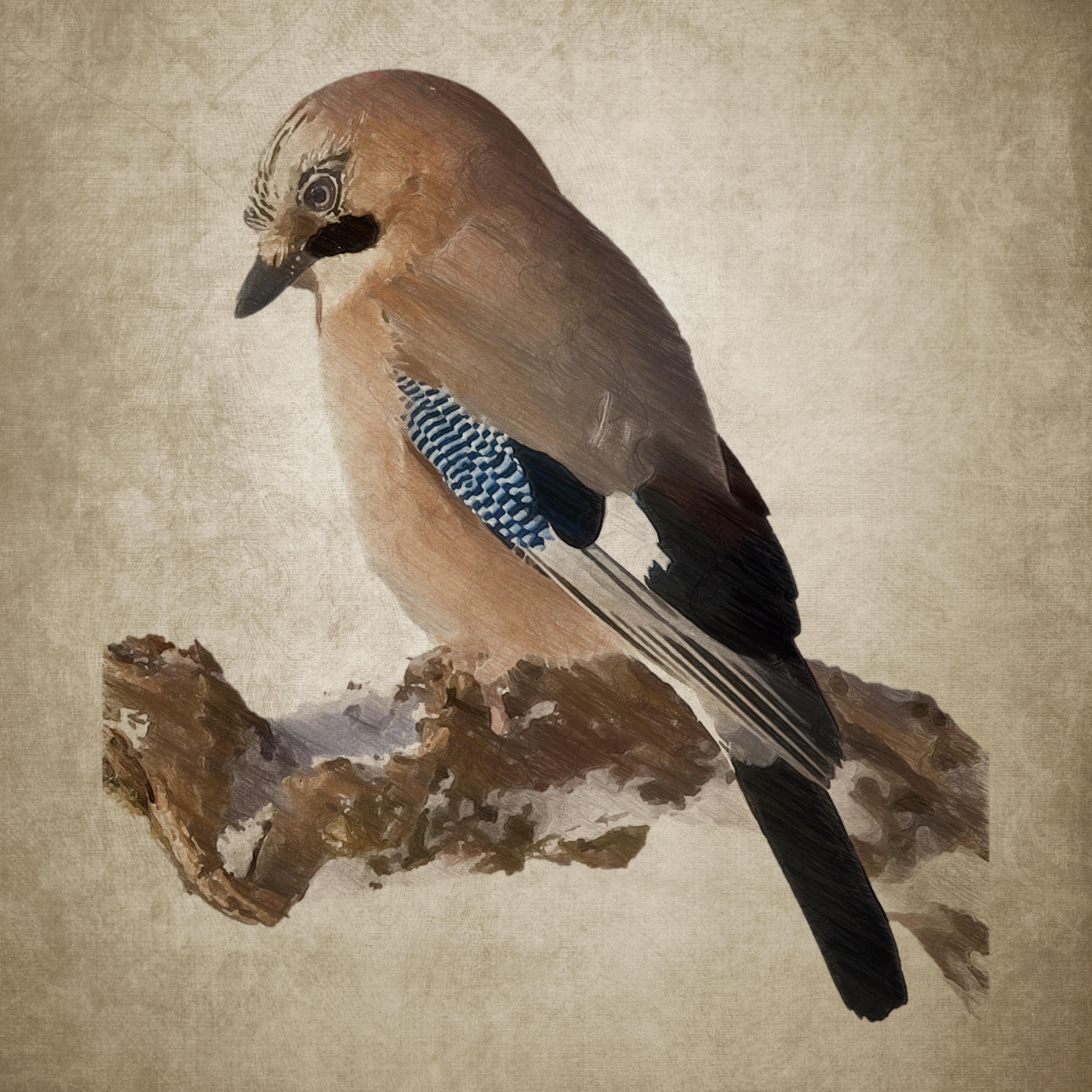 Gambar Sayap Vintage Paruh Lukisan Bulu Burung Jay