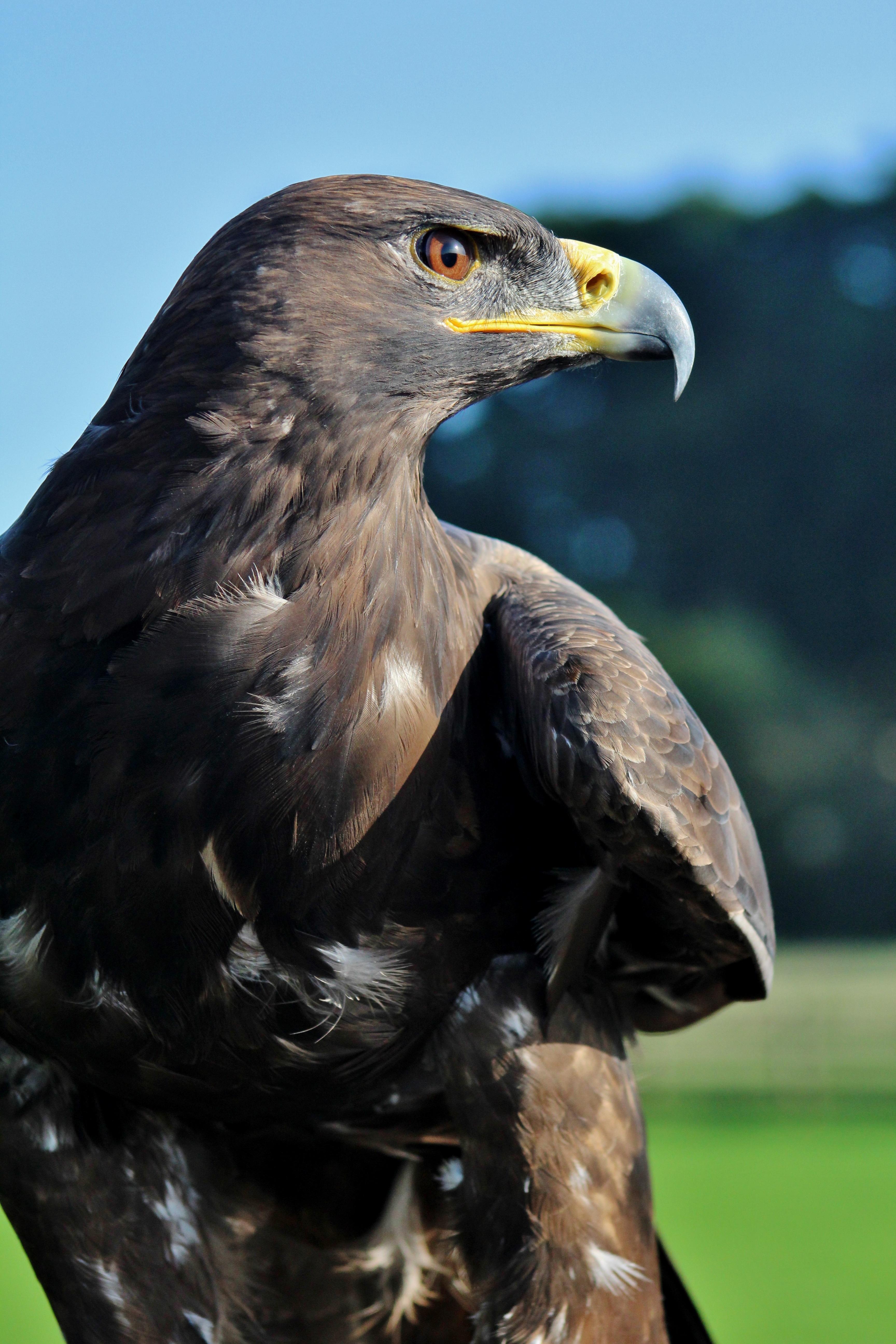 Картинка хищный орел