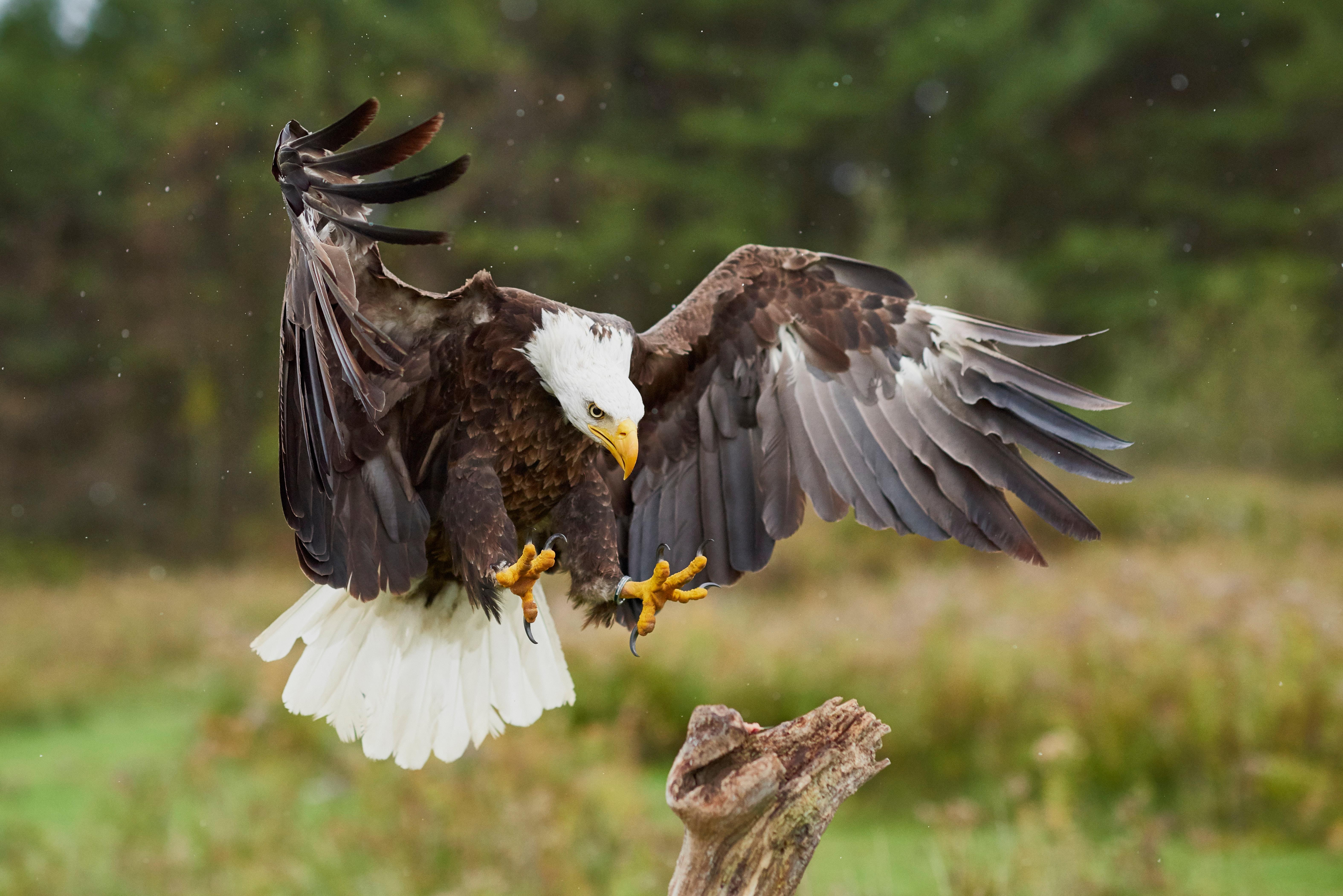 или фото орел ястреб