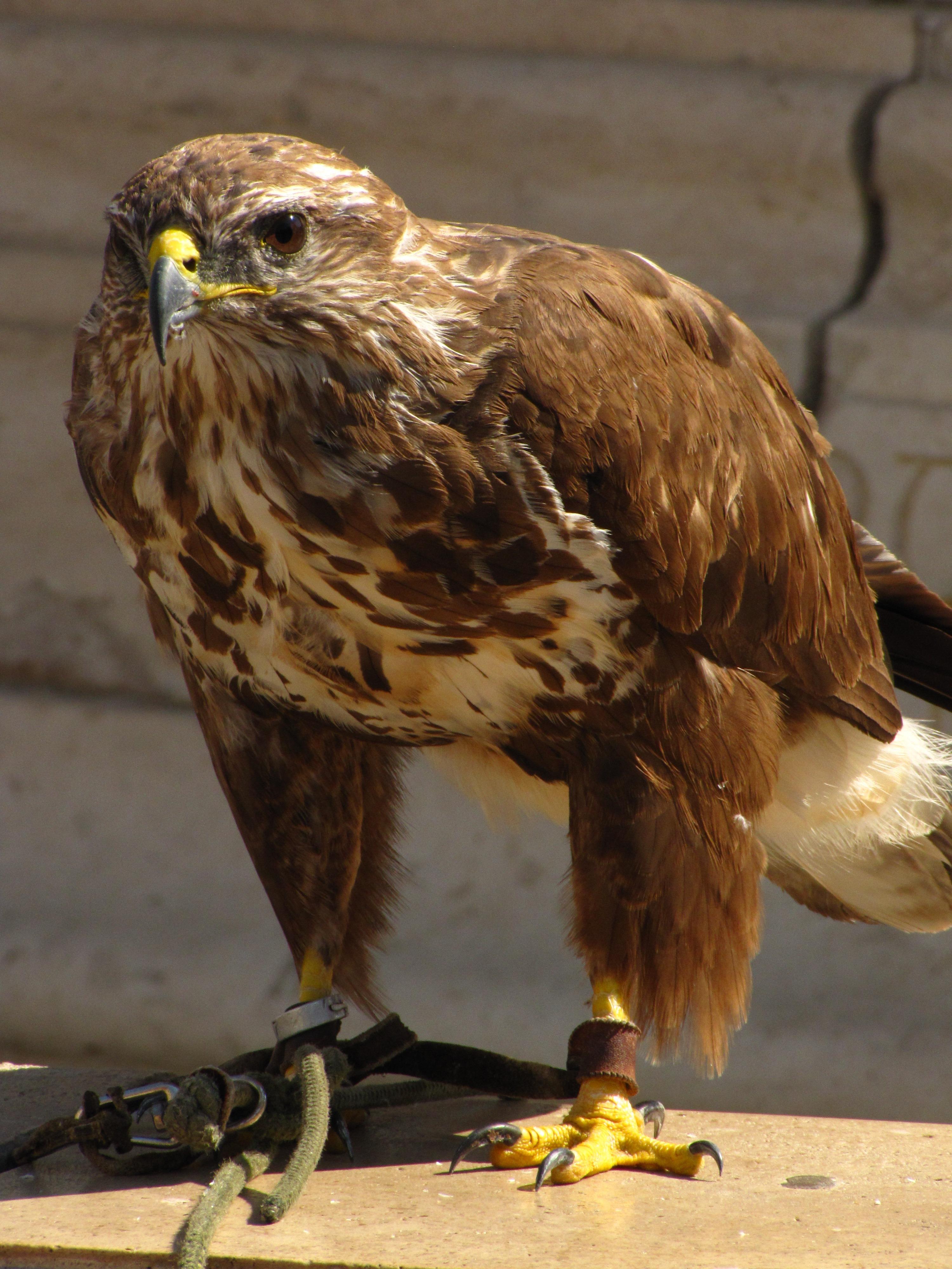 соколы ястребы и орлы хищные птицы фото этом ковид-реанимации, сожалению