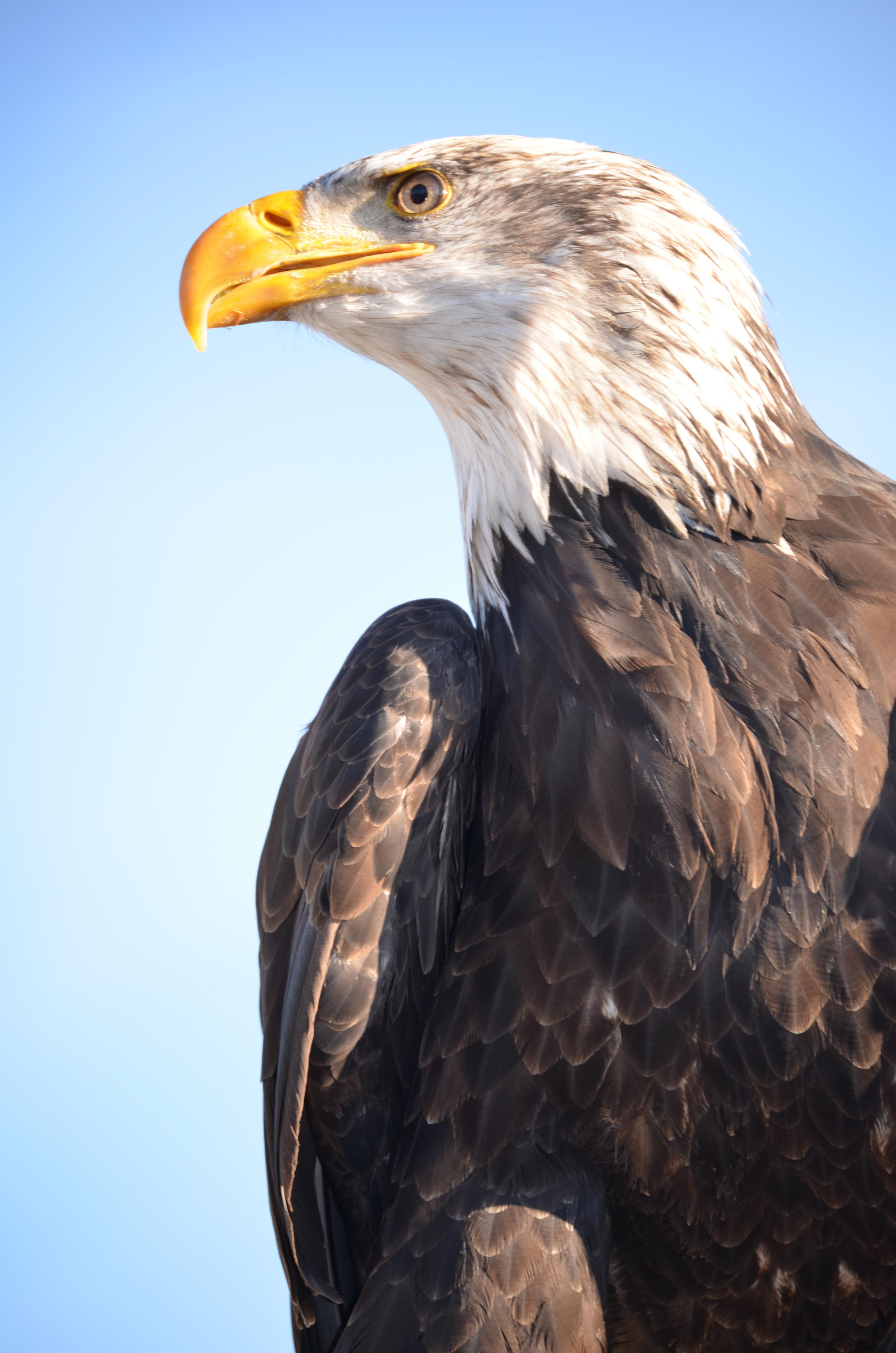 bird wing wildlife beak eagle hawk fauna raptor bird of prey bald eagle vertebrate bill falcon adler golden eagle accipitriformes 593283