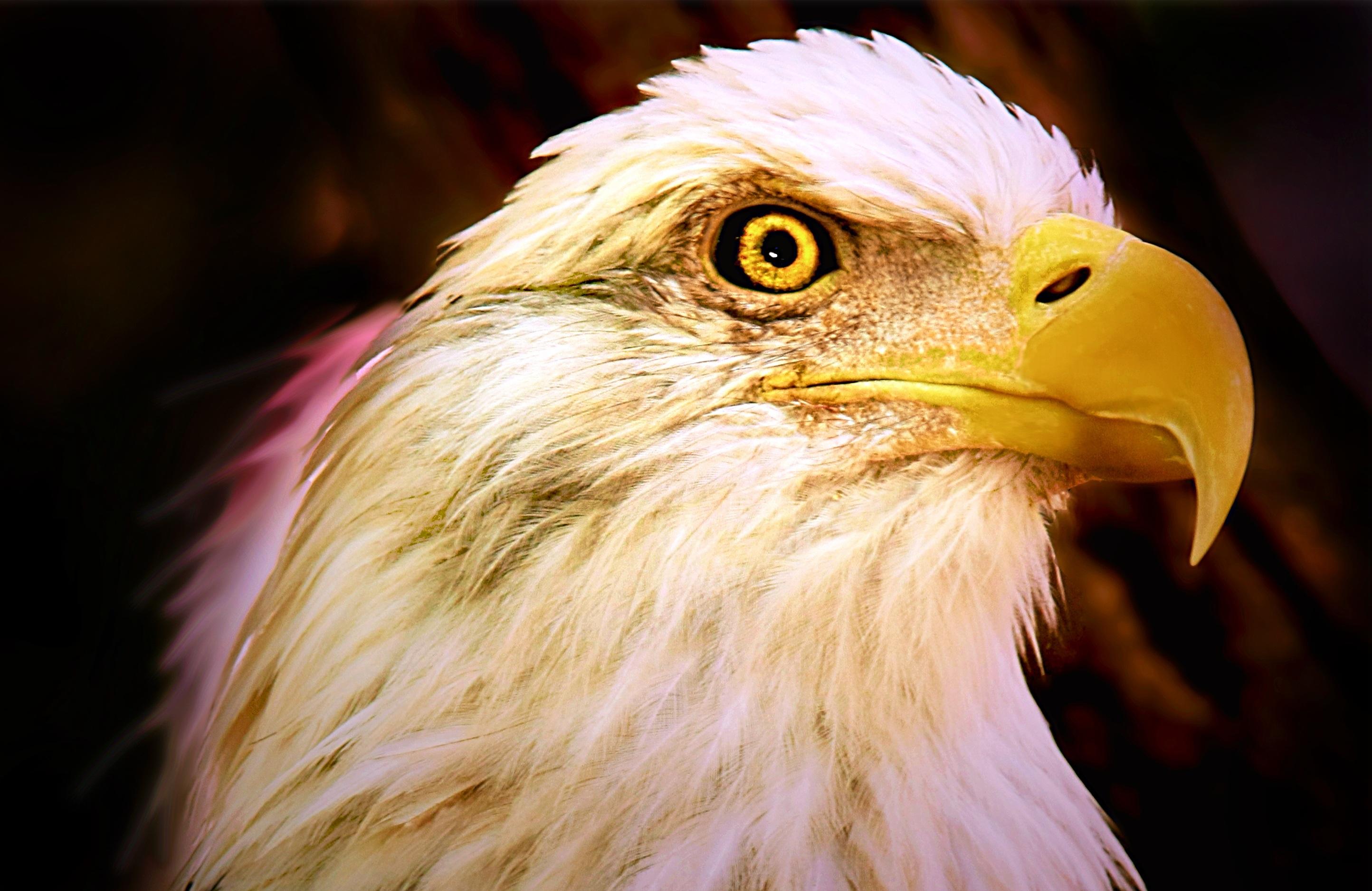 1010+ Gambar Burung Elang Terbaik HD