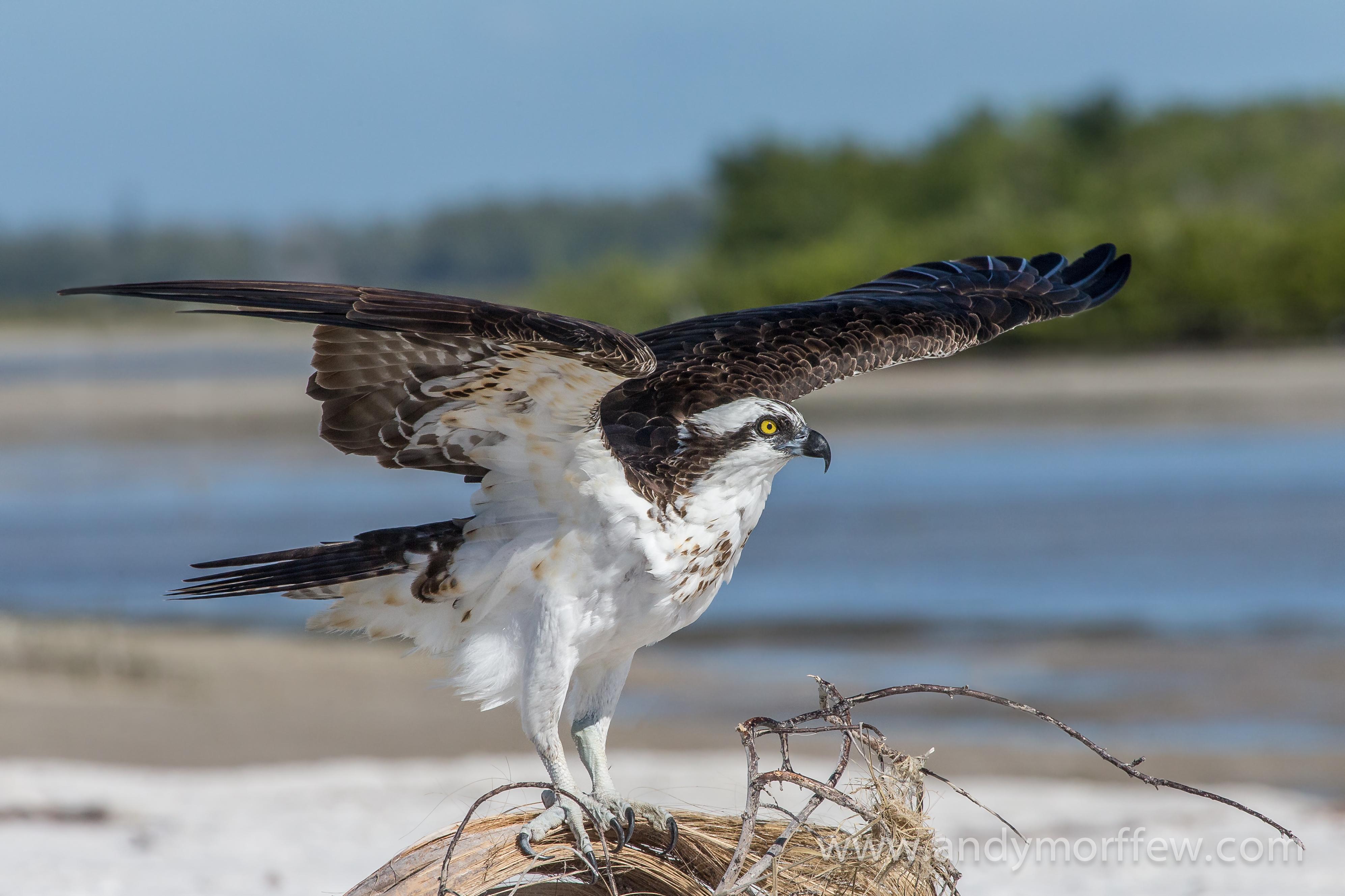 Птица скопа картинки понятие личной