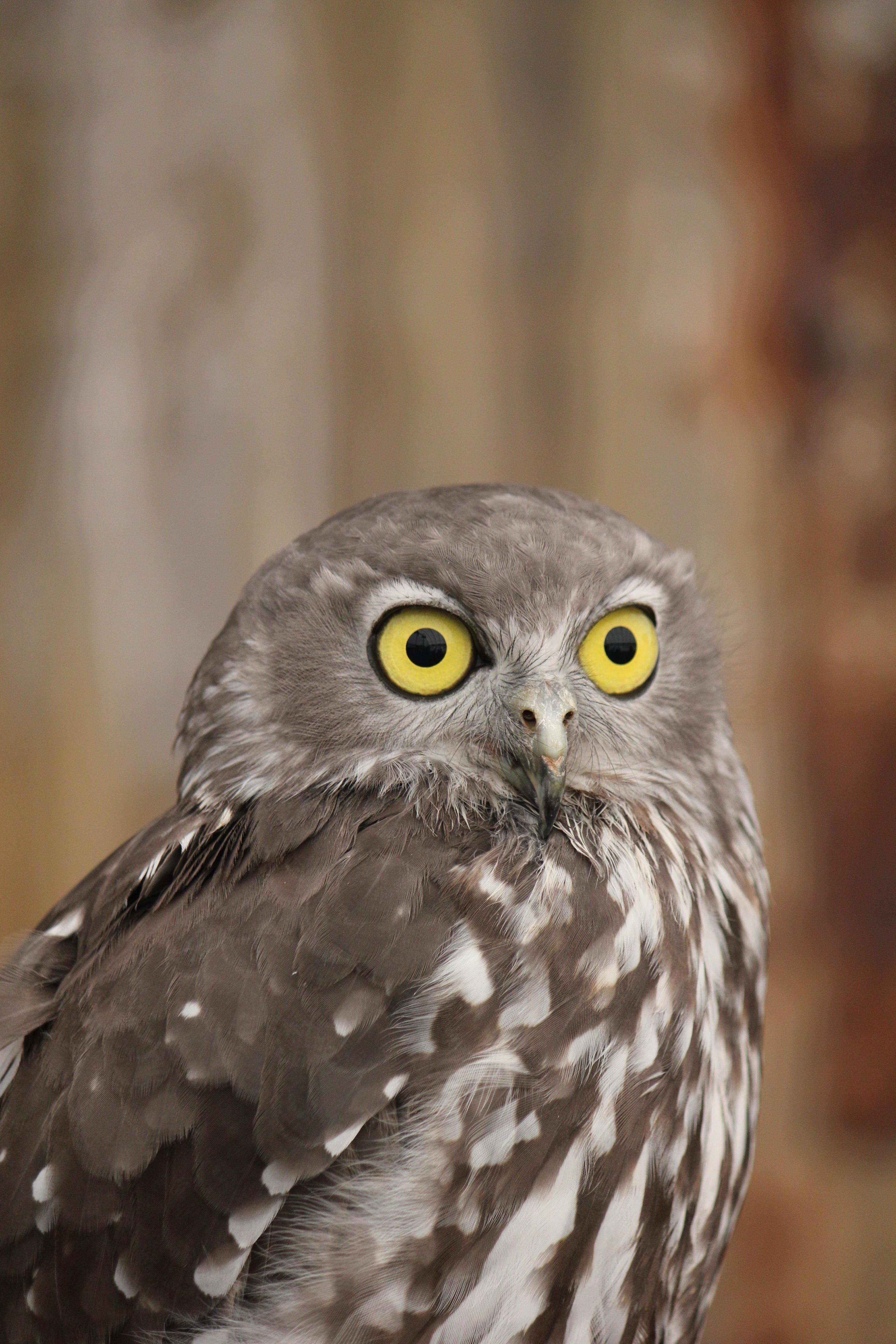 free images wing wildlife beak hawk fauna bird of prey