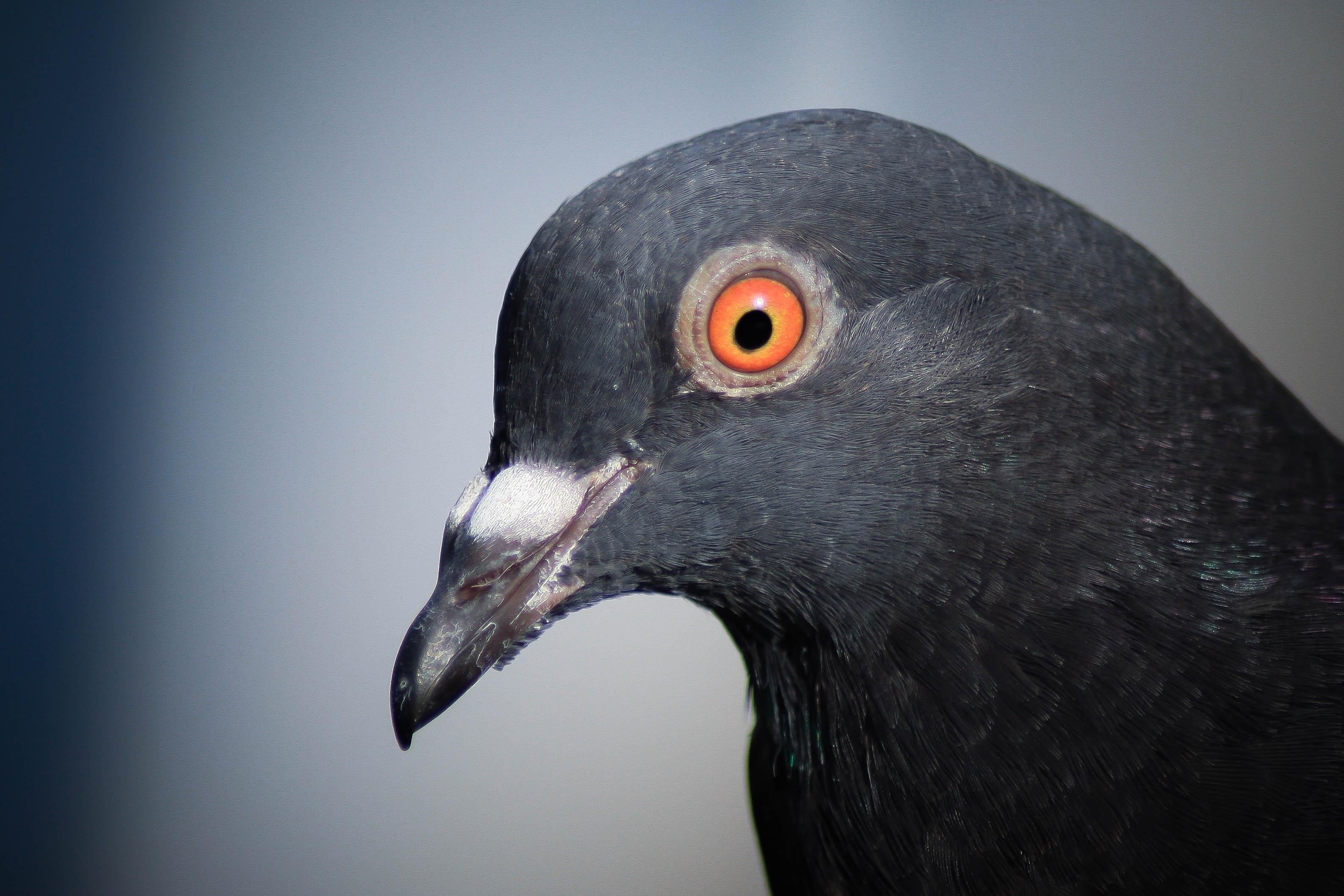 подобных голубь с глазами спереди фото любой час