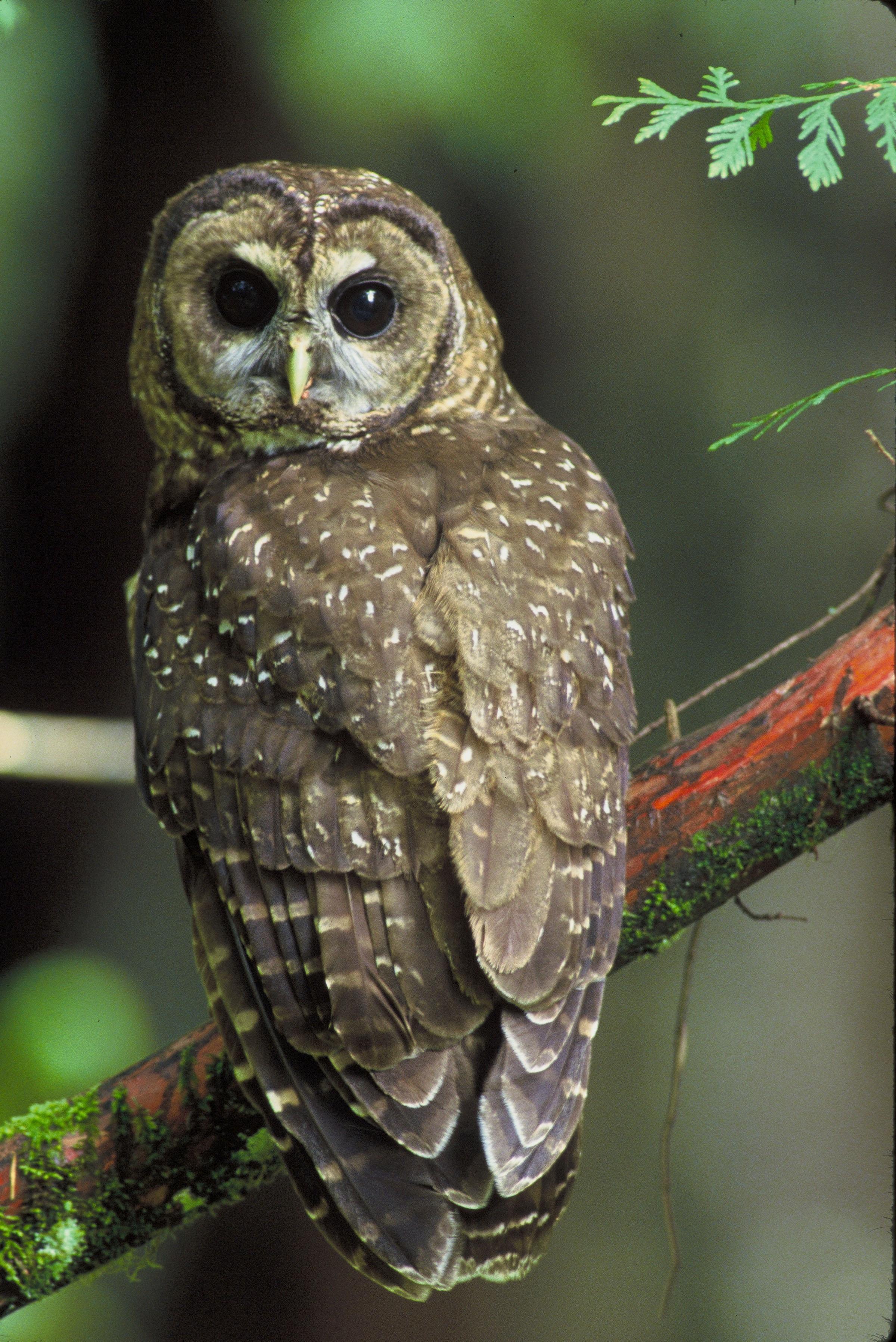 Gambar Sayap Margasatwa Paruh Predator Burung Hantu Fauna Burung Buas Mata Bertulang Belakang Pemburu Nokturnal Bertengger Hantu Kelabu Burung Hantu Berbintik Utara Accipitriformes Burung Hantu Berbintik 2400x3593 771124 Galeri