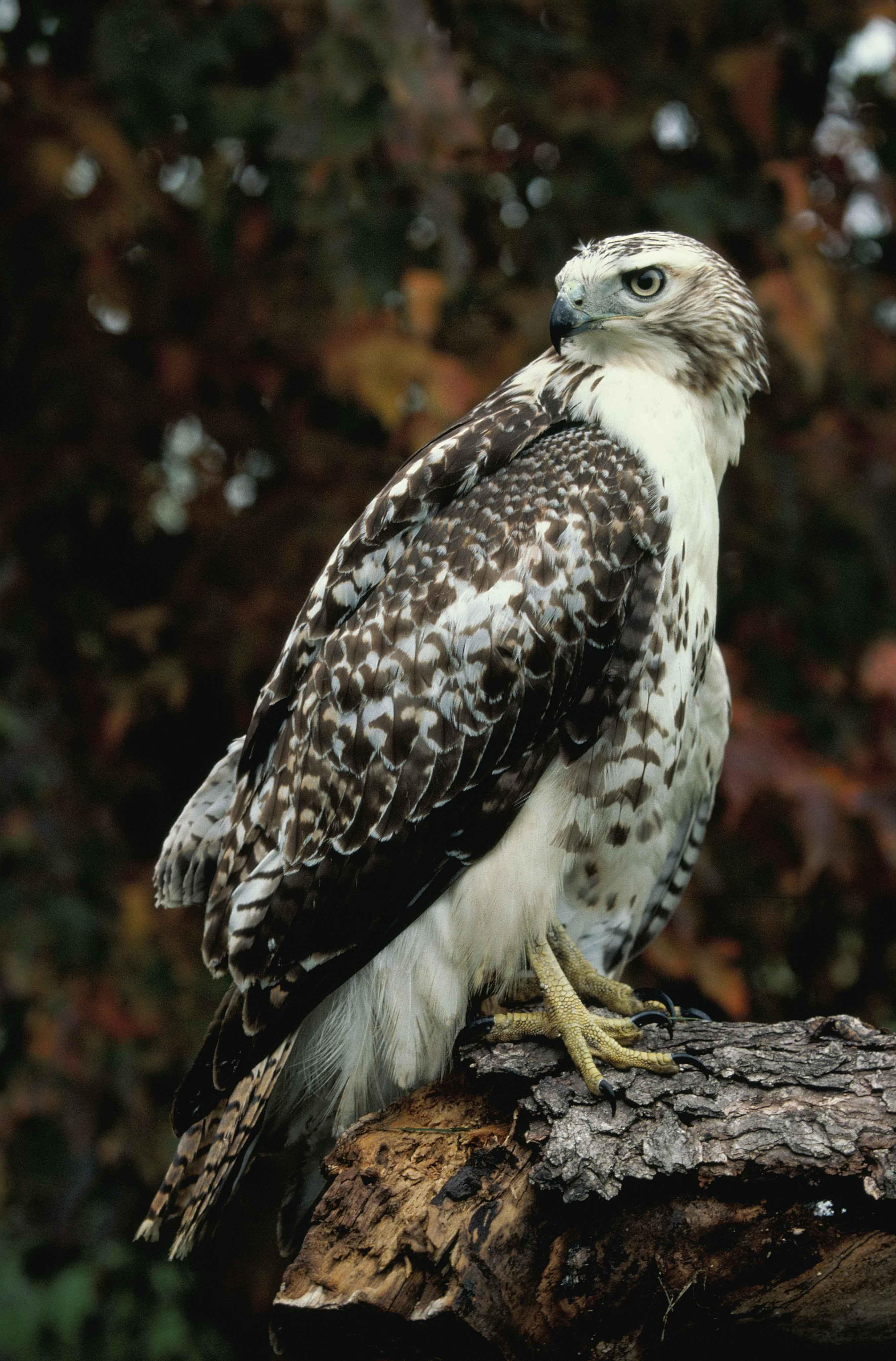 Bird Wing Wildlife Standing Log Red Beak Hawk Owl Fauna Of Prey Birds Animals Vertebrate