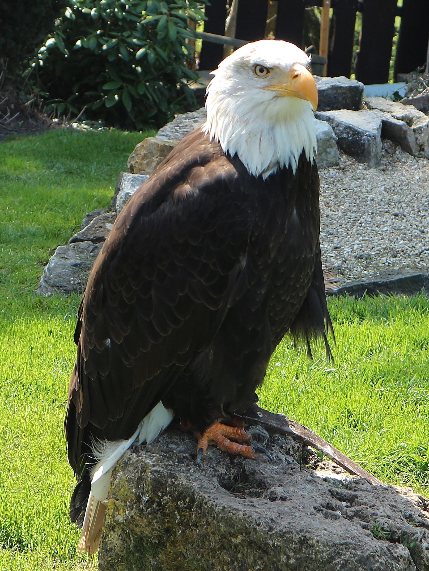480 Koleksi Gambar Burung Rajawali Asli HD