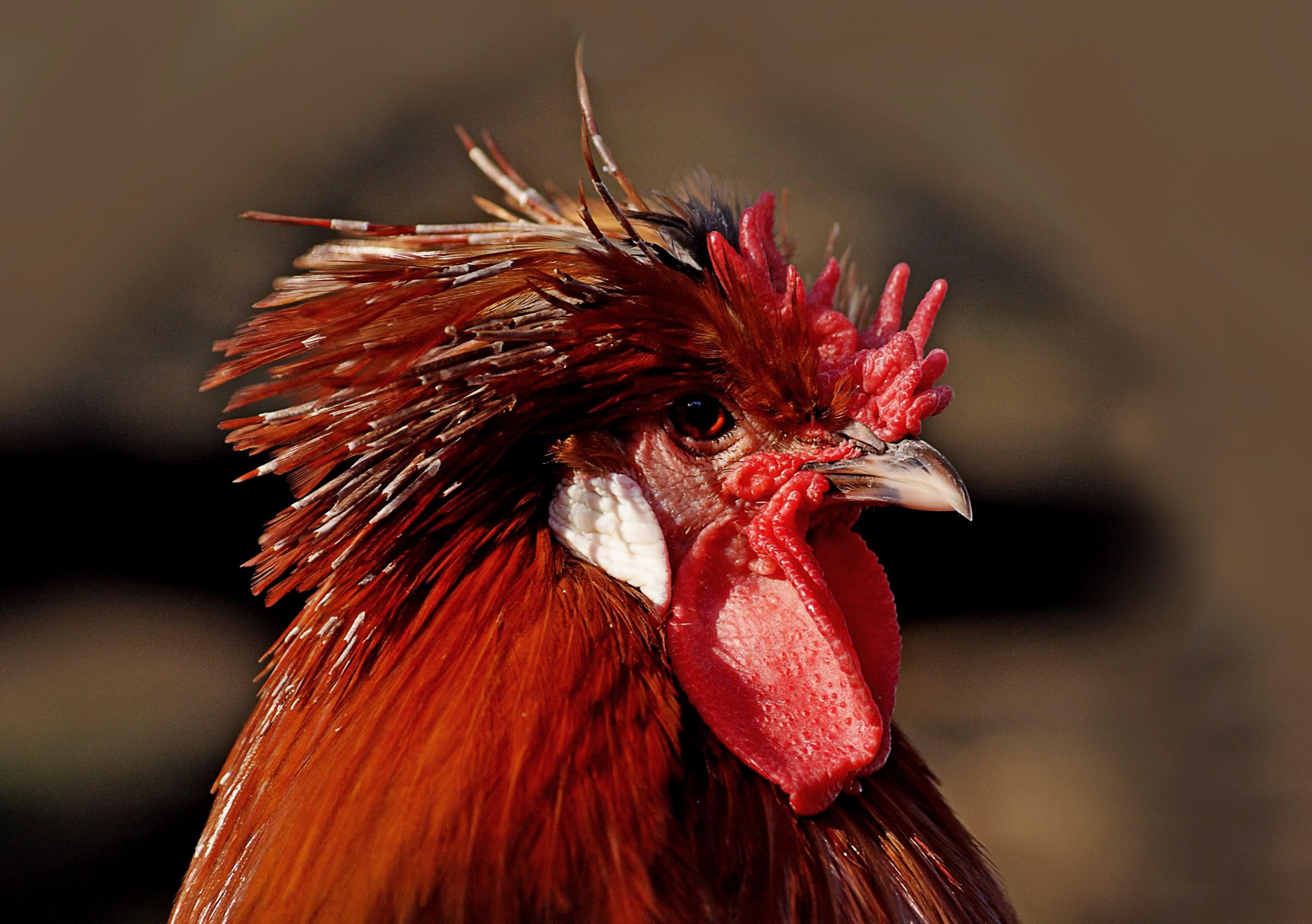 Bilder av fine cocks