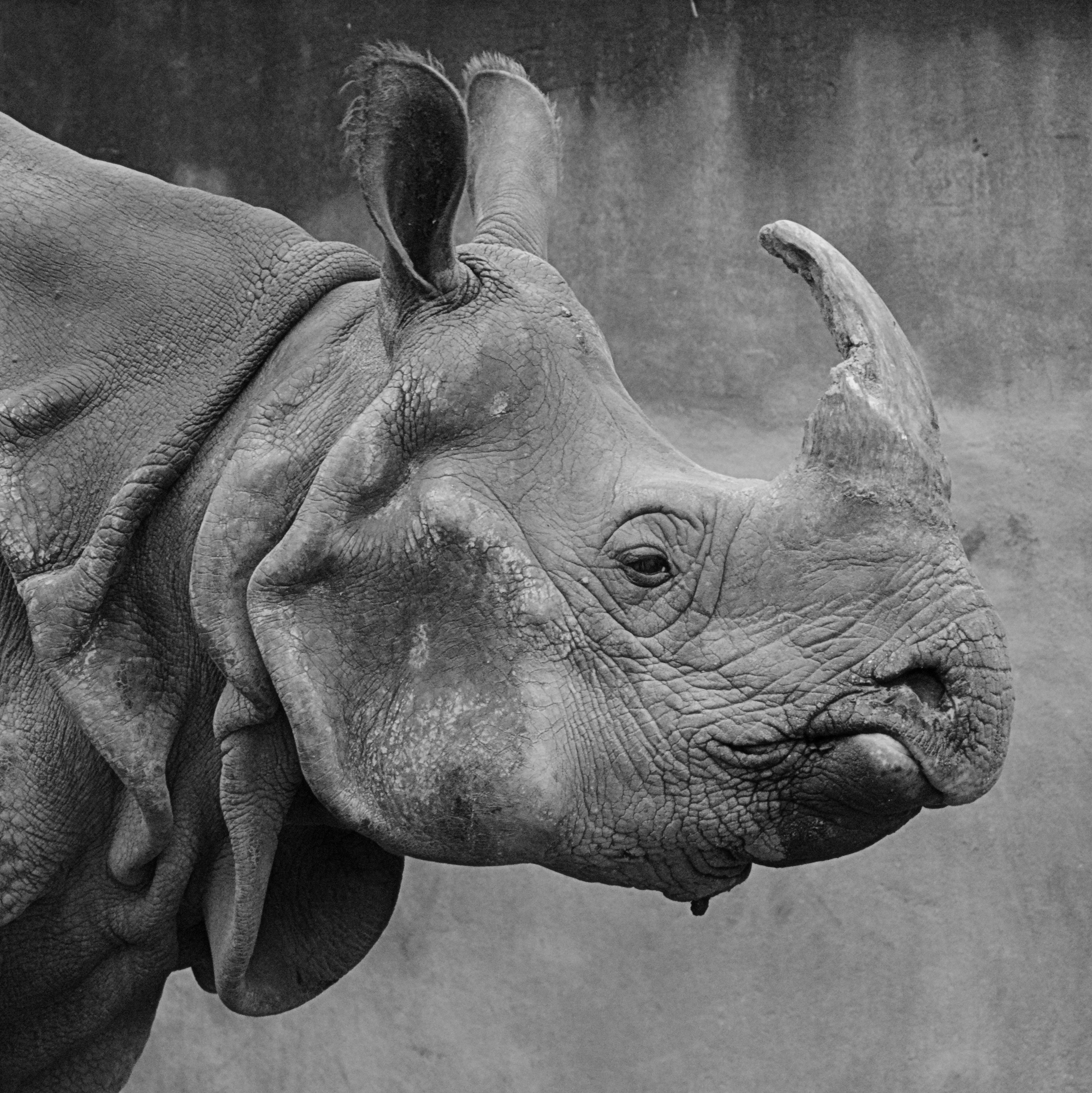 Images gratuites noir et blanc animal statue corne mammif re monochrome rhinoc ros - Elephant indien dessin ...