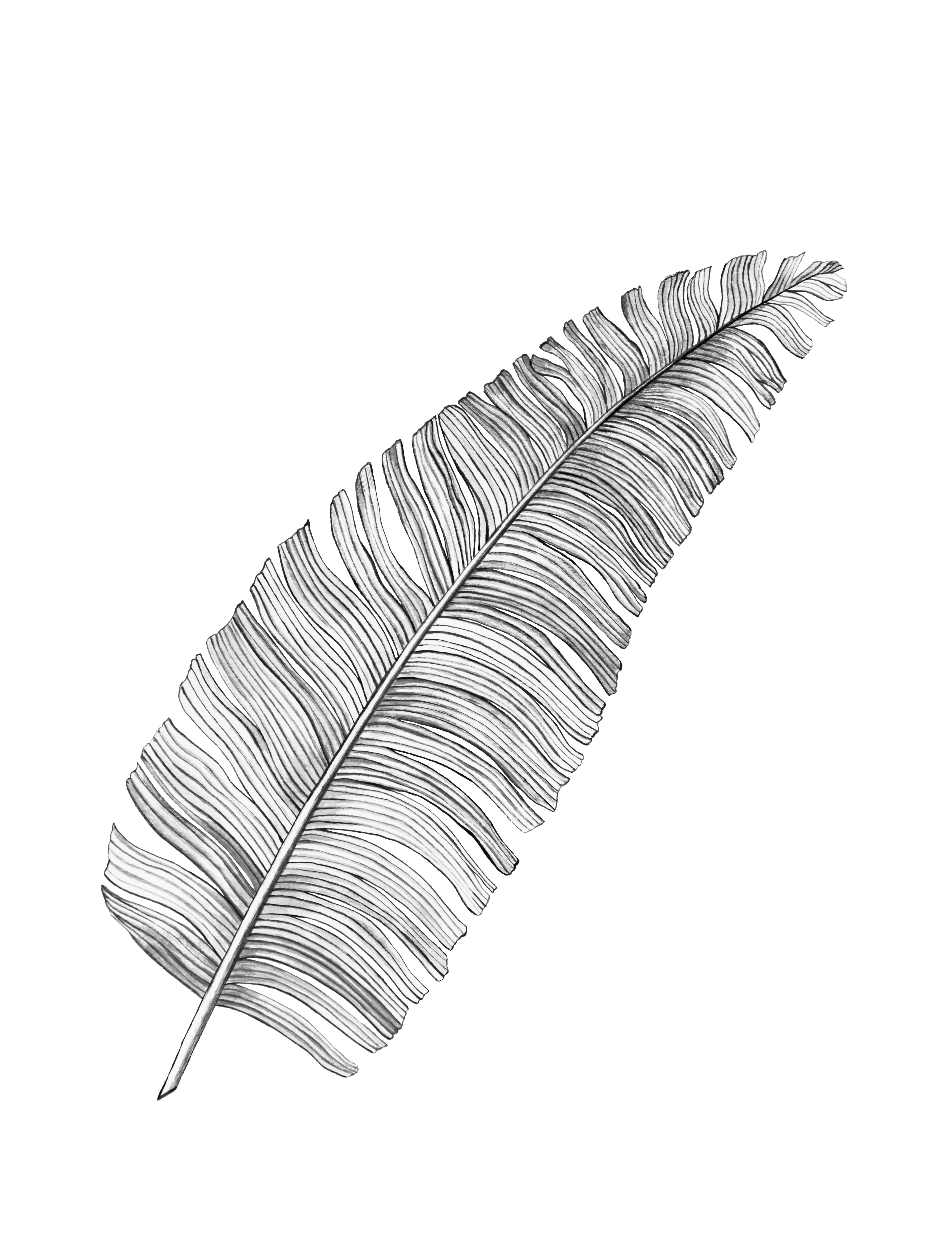 Fotograf Siyah Ve Beyaz Tropikal Yaprak Illustrasyon Cizim