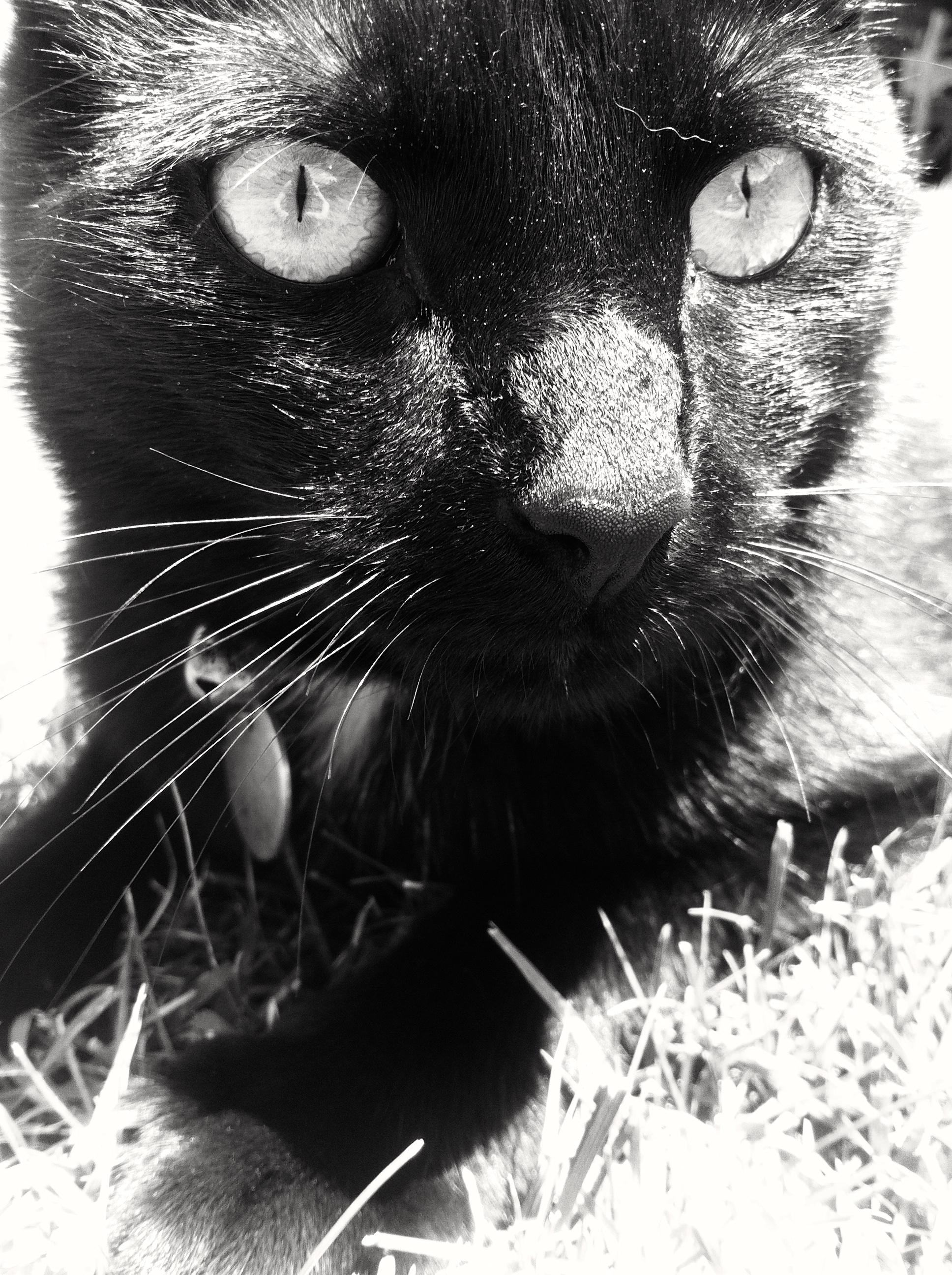 91 Gambar Binatang Kucing Hitam Putih HD Terbaru