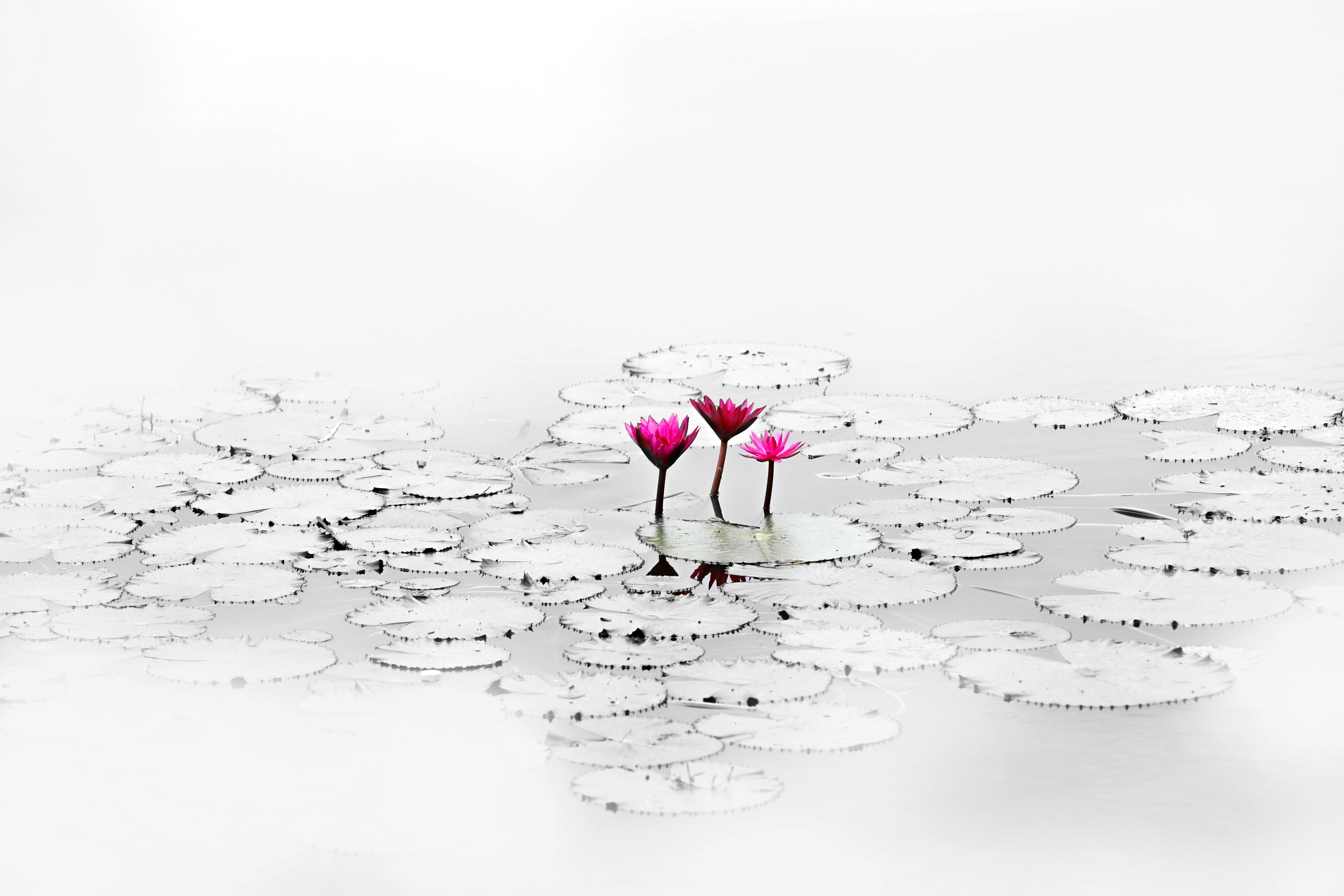Gambar Hitam Dan Putih Bunga Kolam Sketsa Gambar Ilustrasi