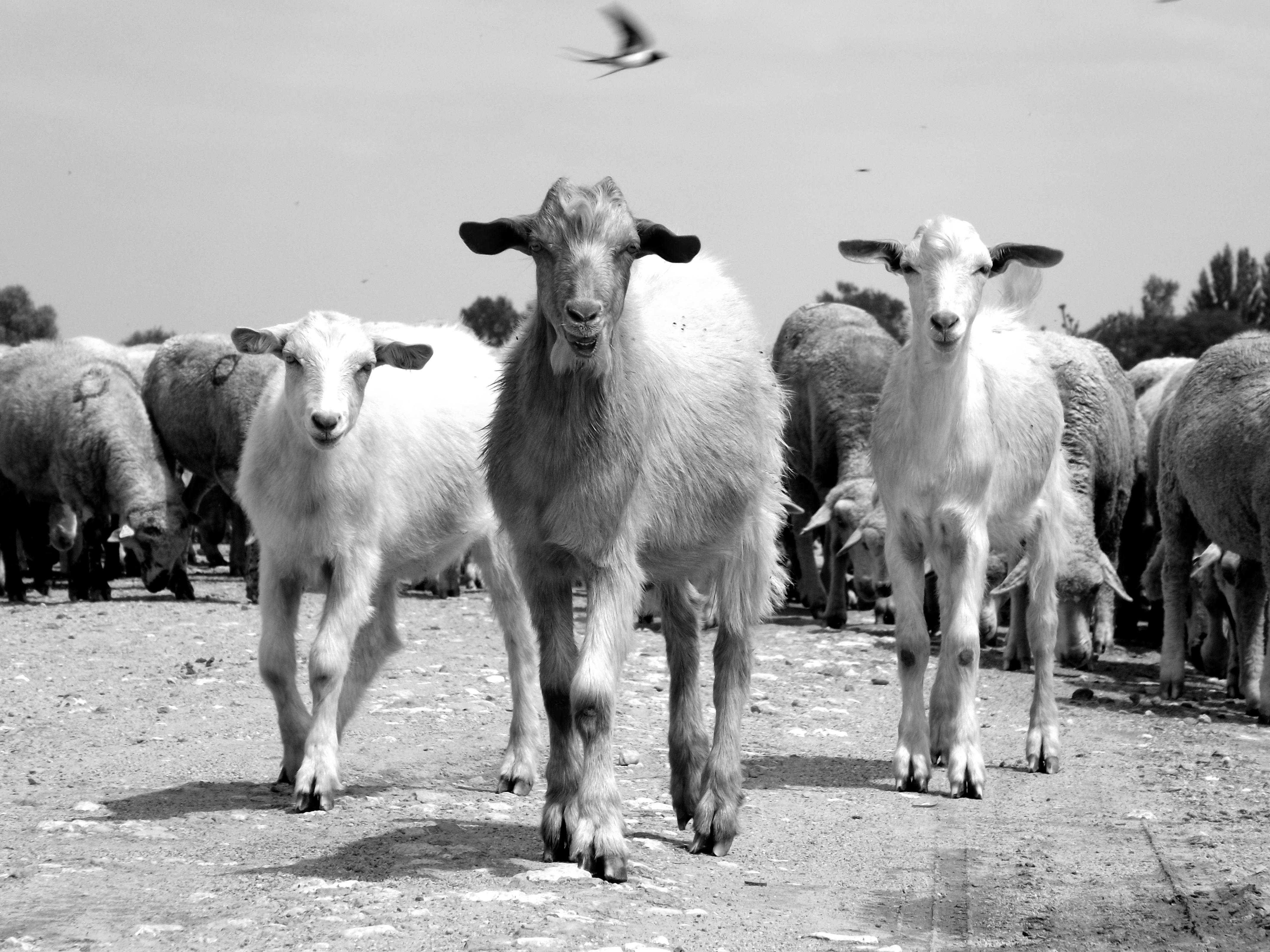 Козел и овца картинка