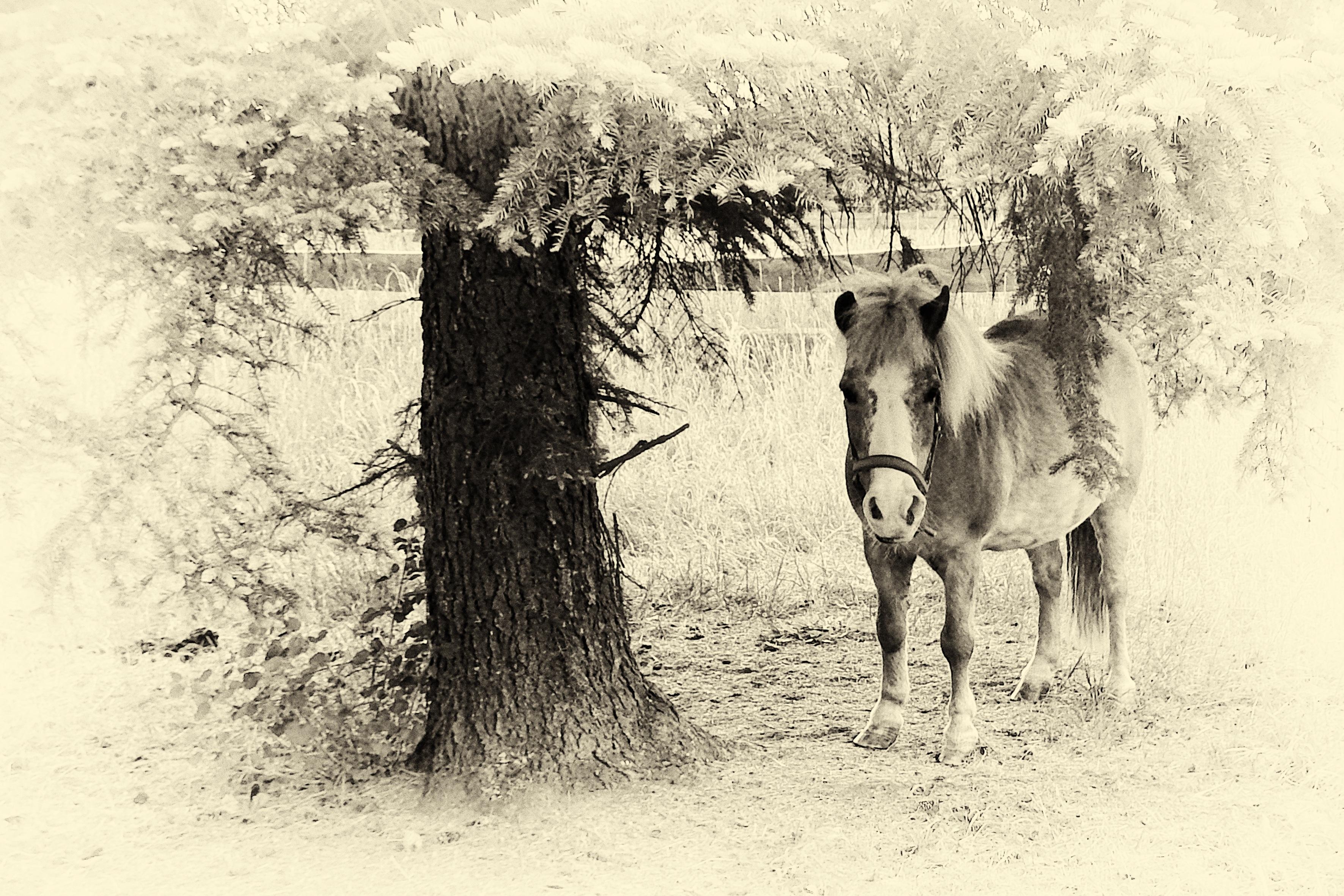 Gambar Hitam Dan Putih Kuda Satu Warna Pony Sketsa Gambar
