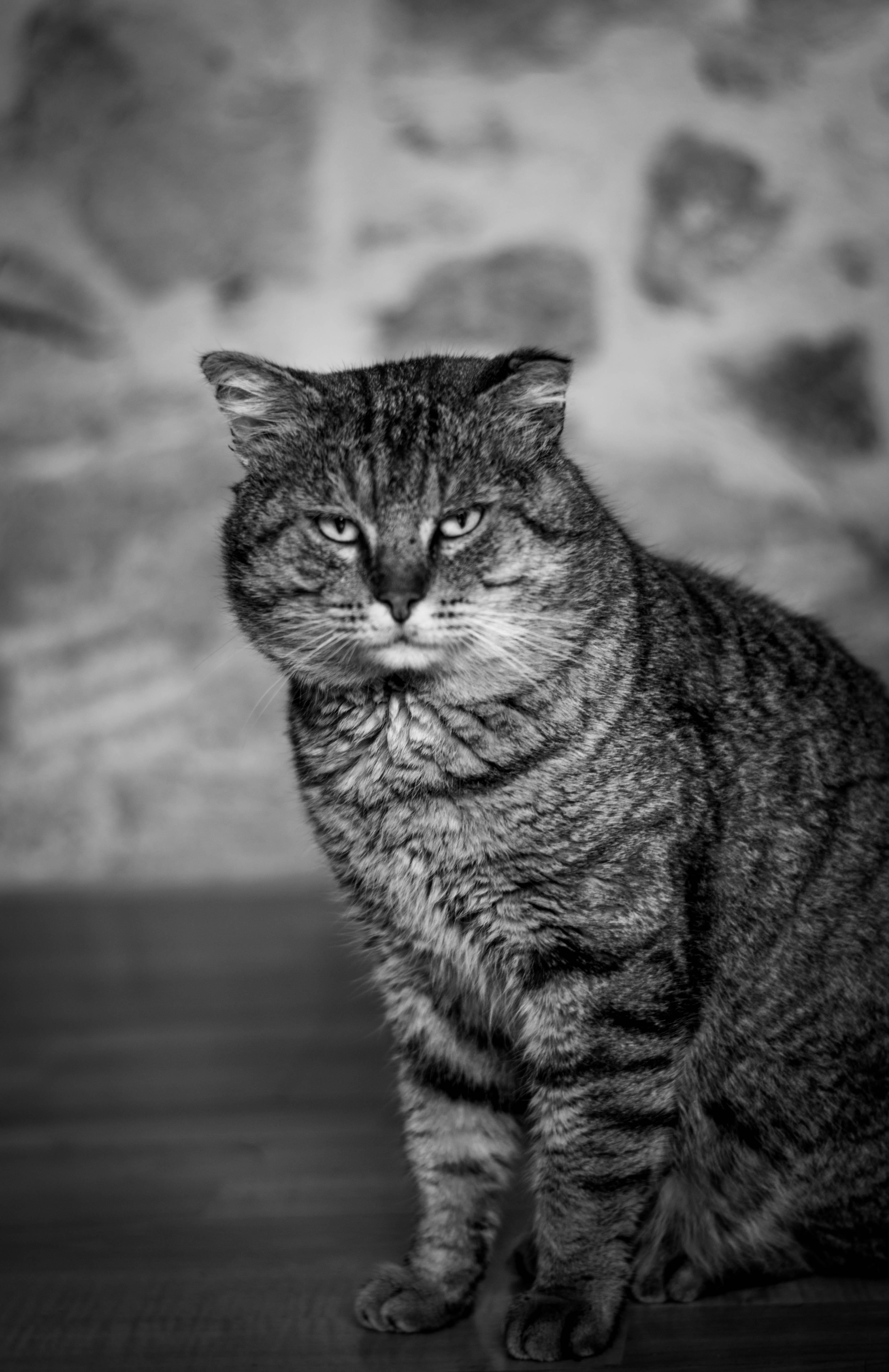 Darmowe Zdjęcia Czarny I Biały Kotek Monochromia Fauna Wąsy