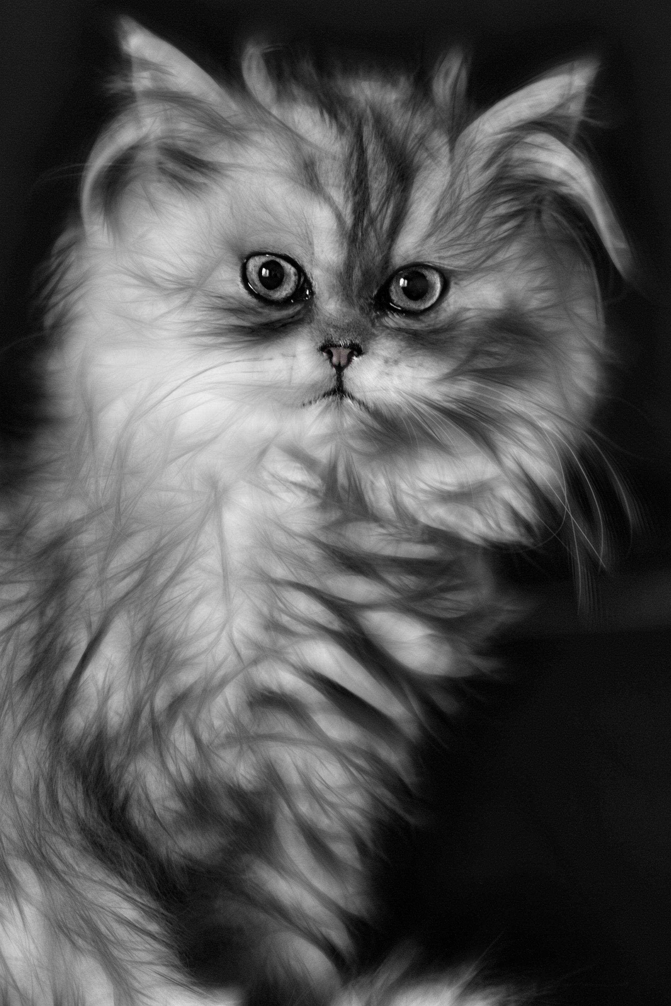 Free black and white kitten whiskers vertebrate