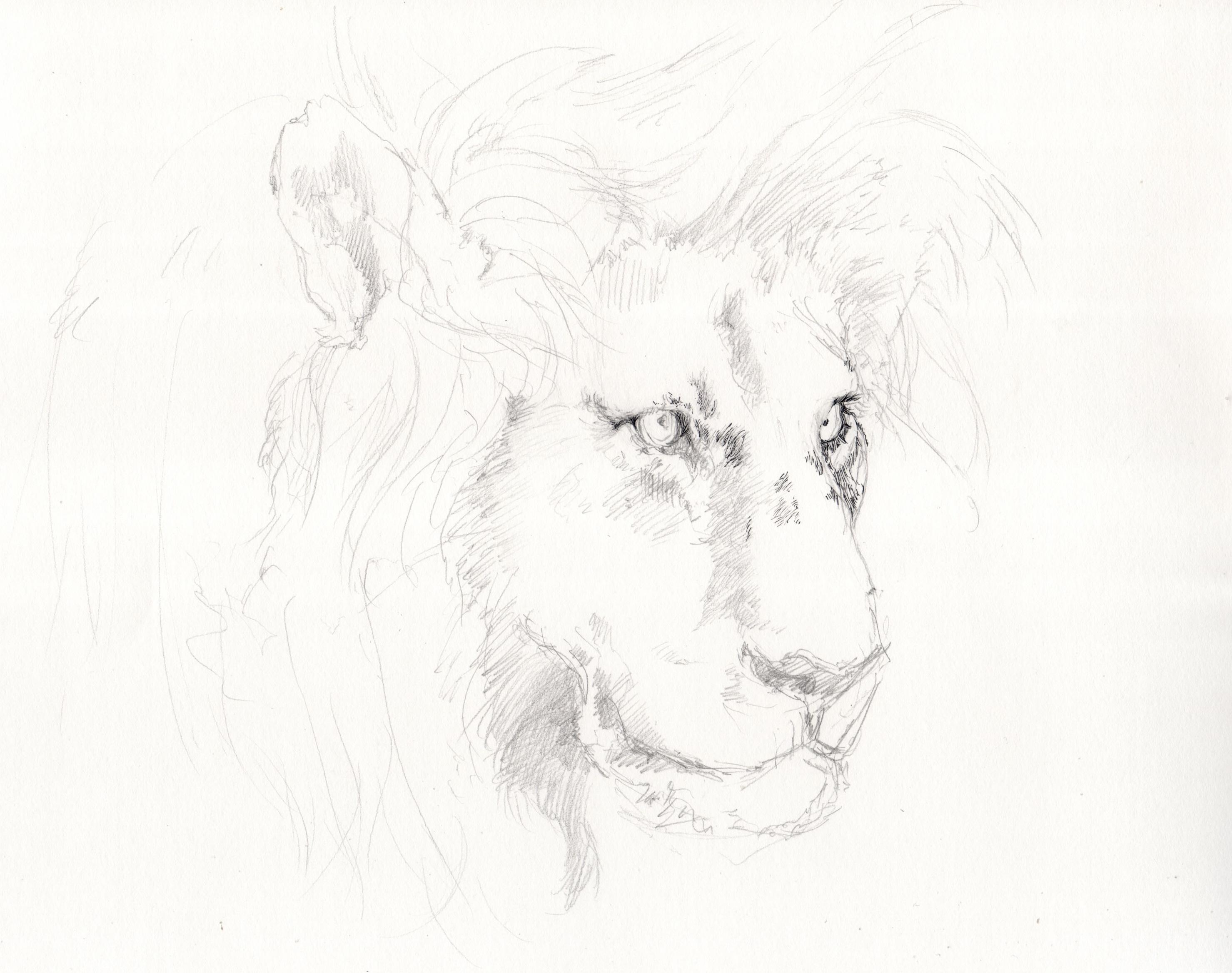 Gambar Hitam Dan Putih Singa Karya Seni Sketsa Ilustrasi