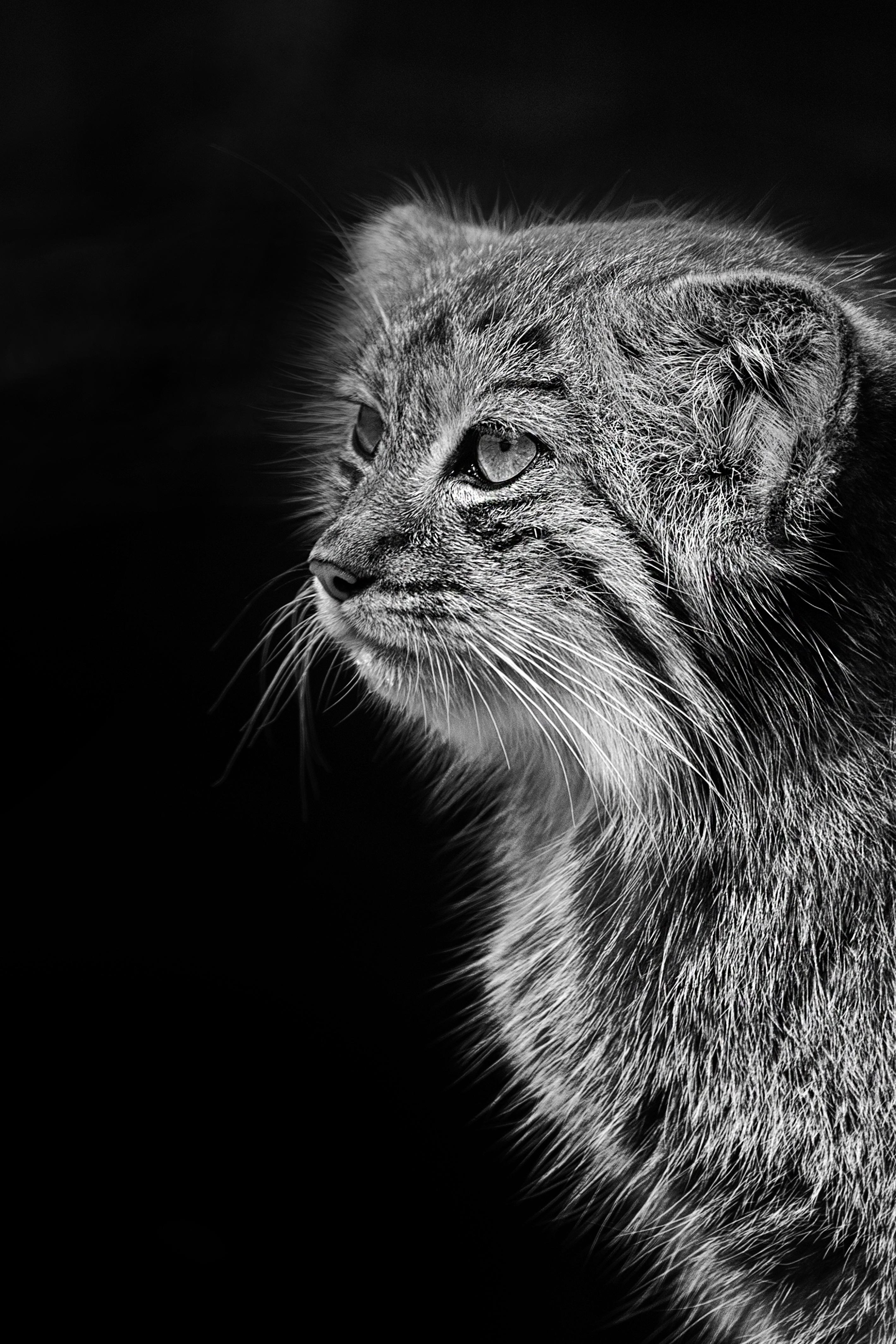 images gratuites noir et blanc la photographie animal zoo portrait f lin obscurit. Black Bedroom Furniture Sets. Home Design Ideas