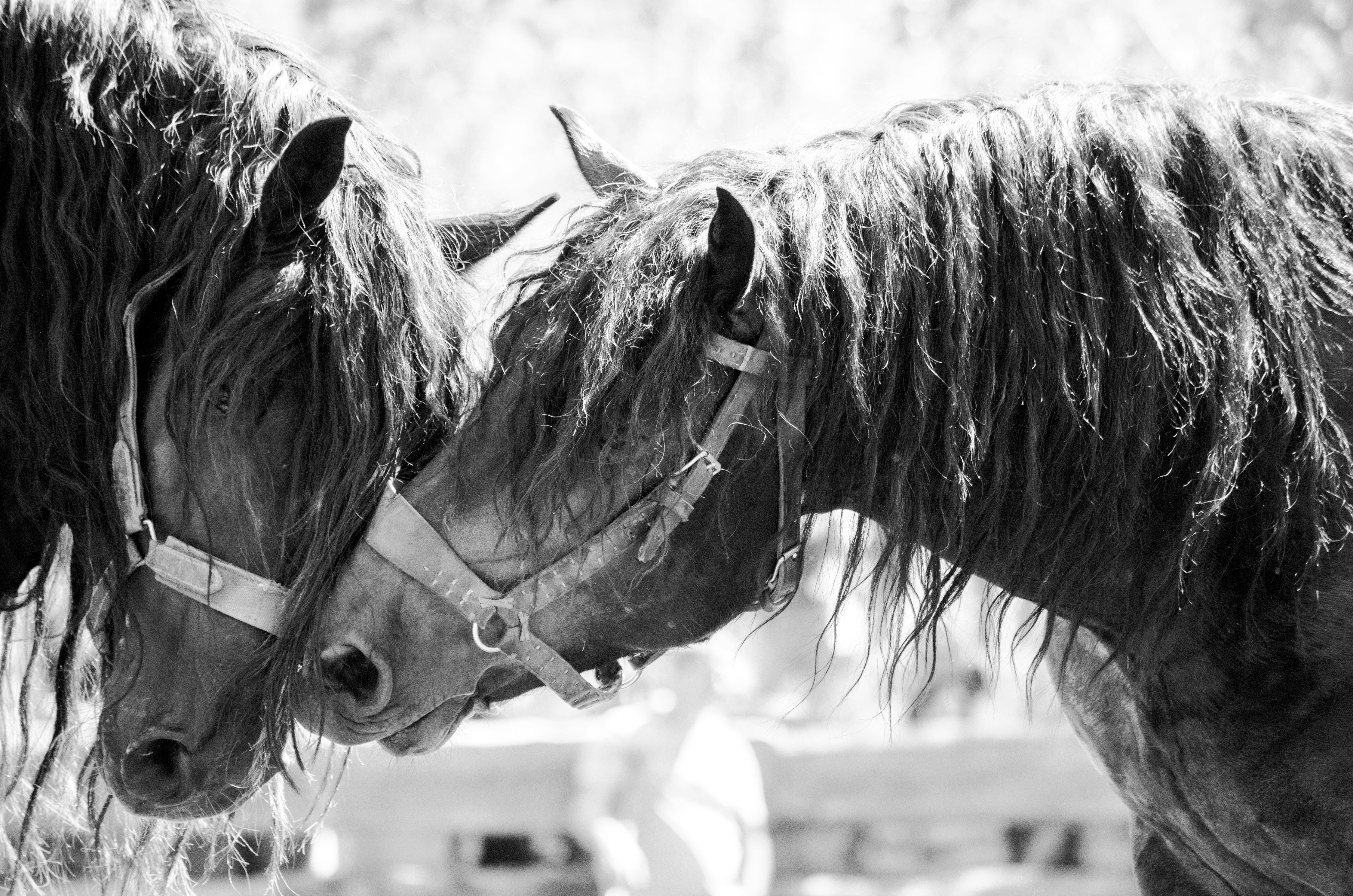 images gratuites noir et blanc la photographie cheval talon crini re relation amicale. Black Bedroom Furniture Sets. Home Design Ideas