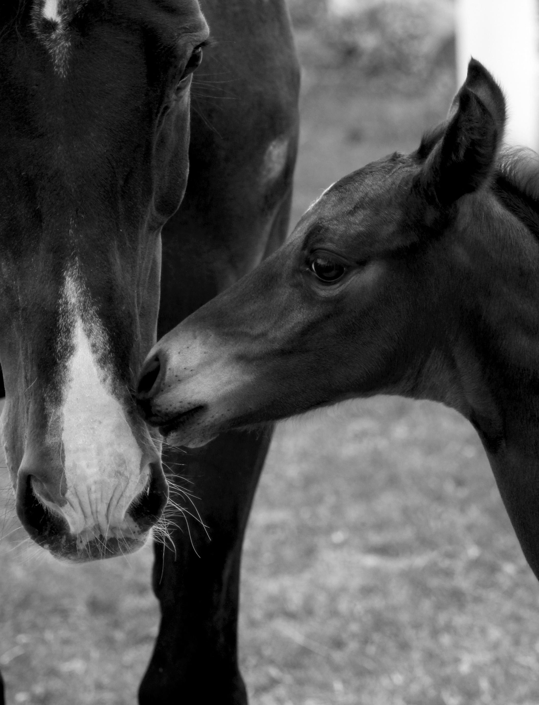 Black and white photography pasture horse mammal stallion mane black monochrome close up head vertebrate mare