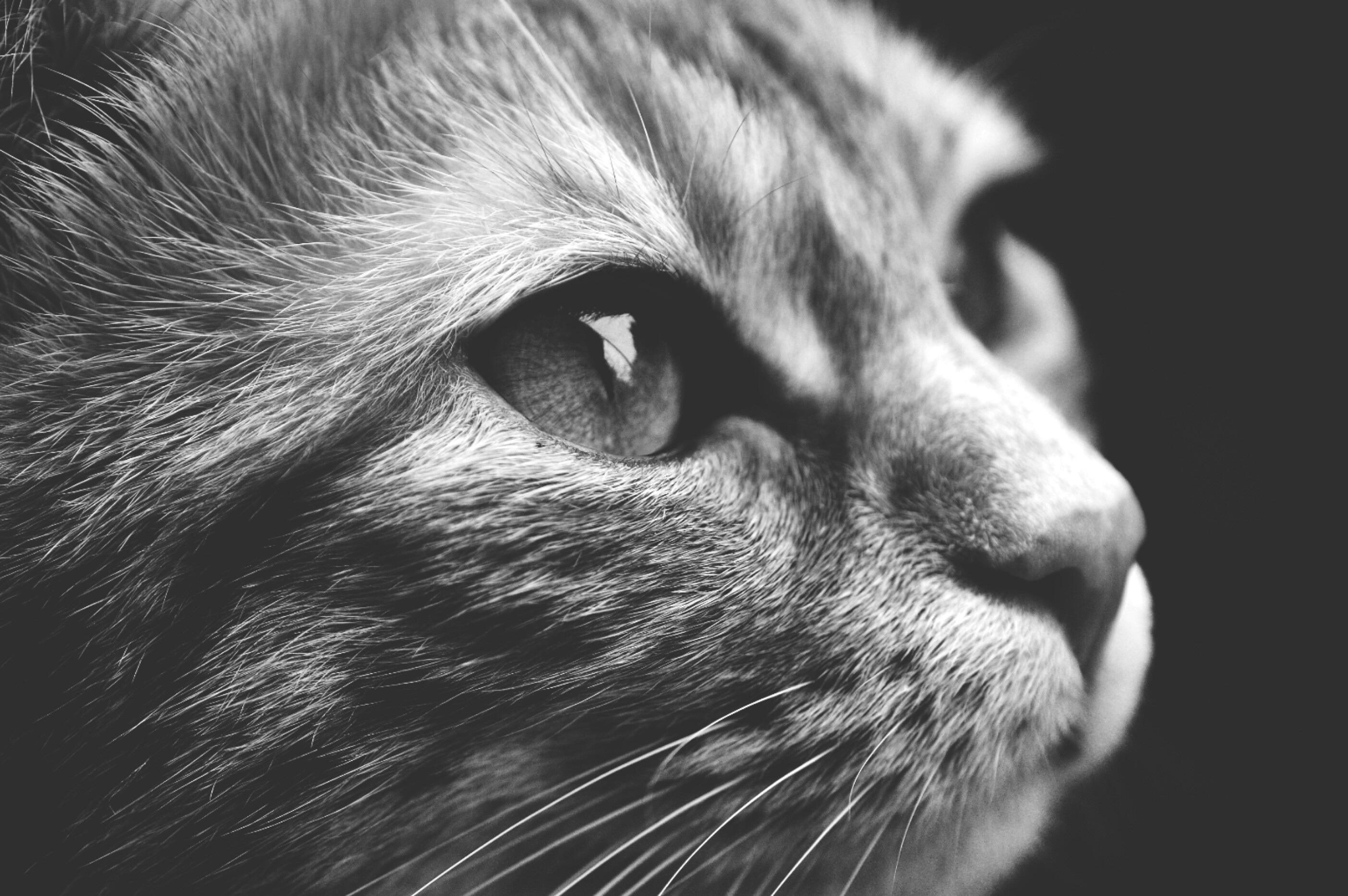 Free images black and white sweet cute pet fur kitten playful close up nose whiskers snout tiger eye adidas vertebrate organ cuddly