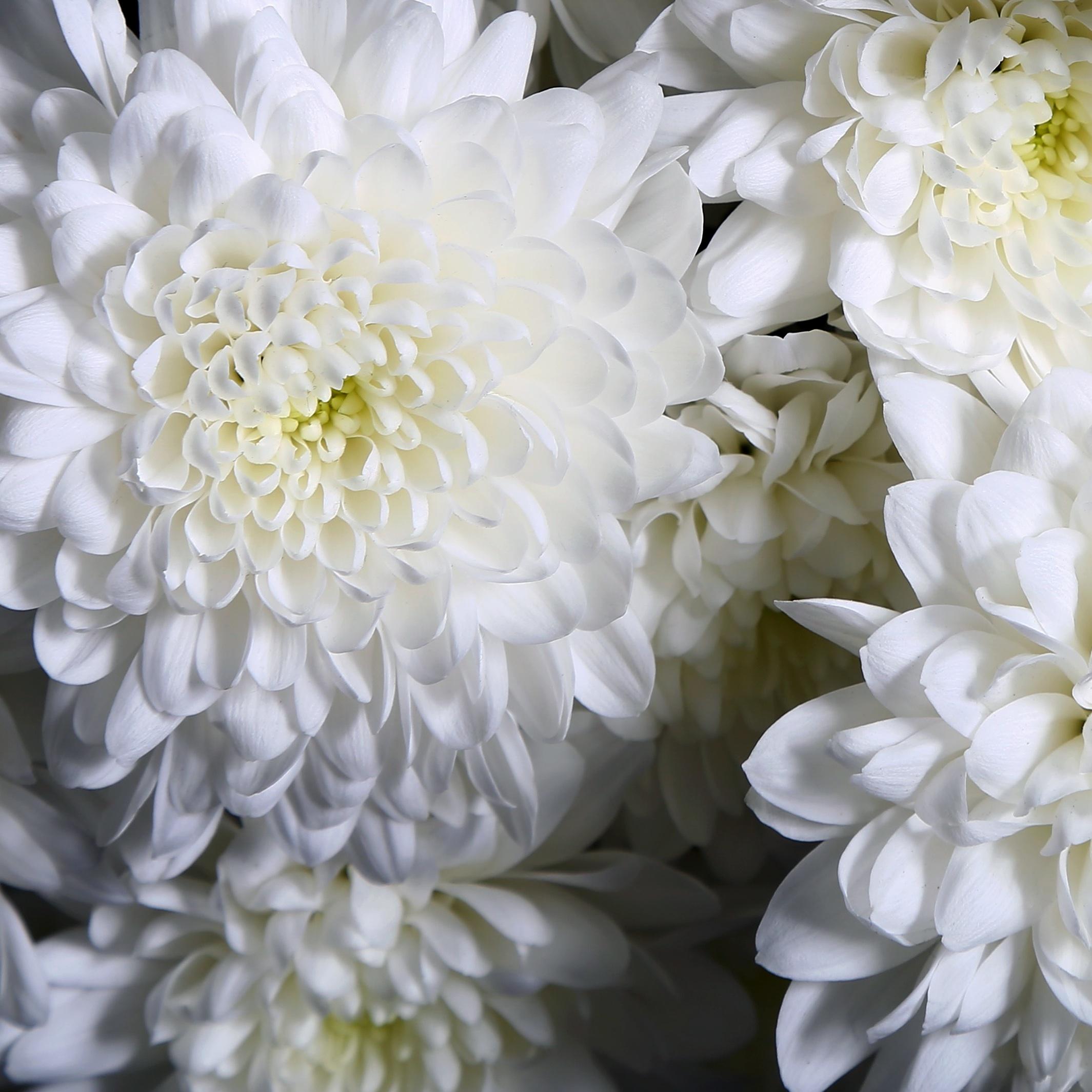 Хризантемы рисунки и фото
