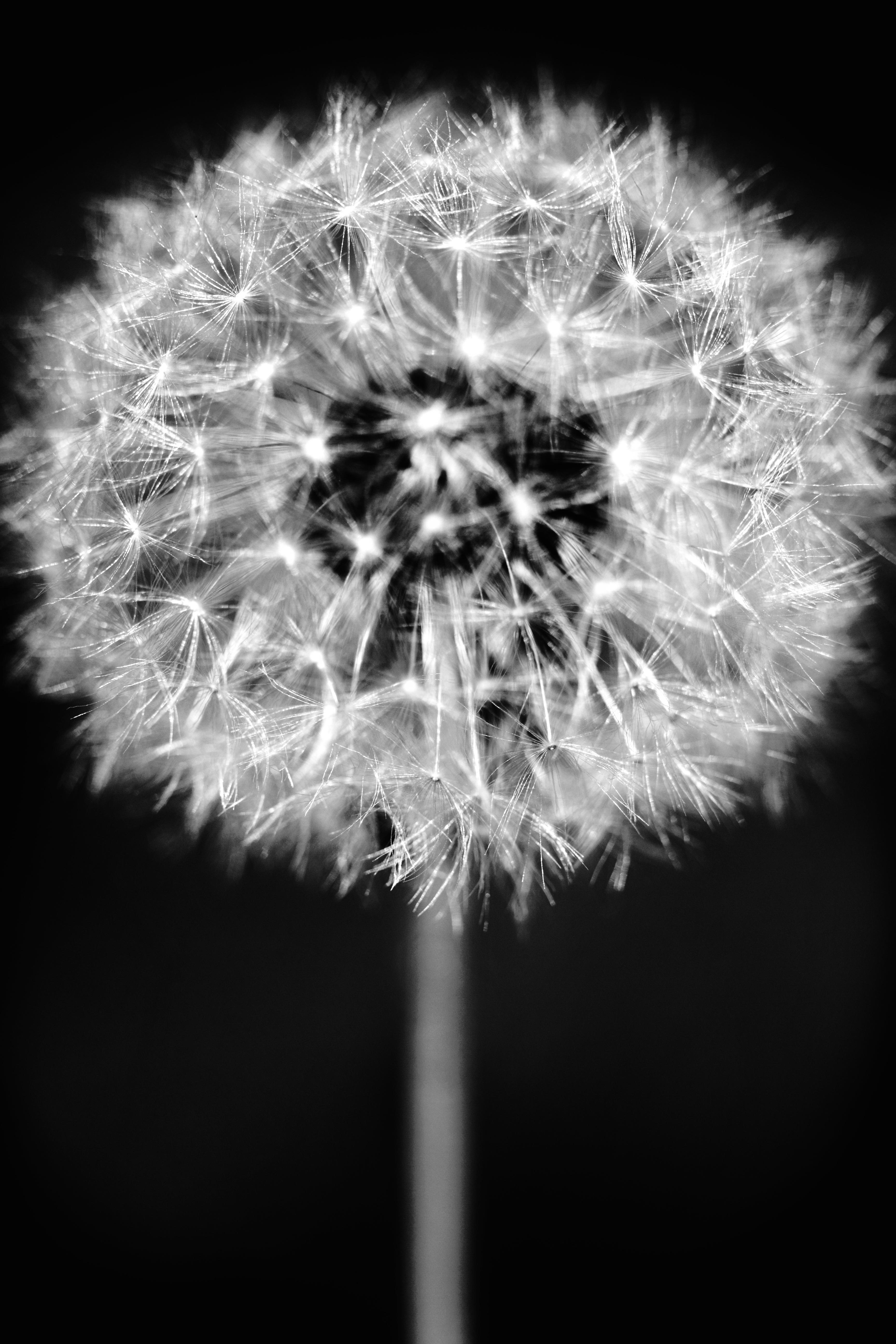 Images Gratuites Noir Et Blanc La Photographie Pissenlit Fleur