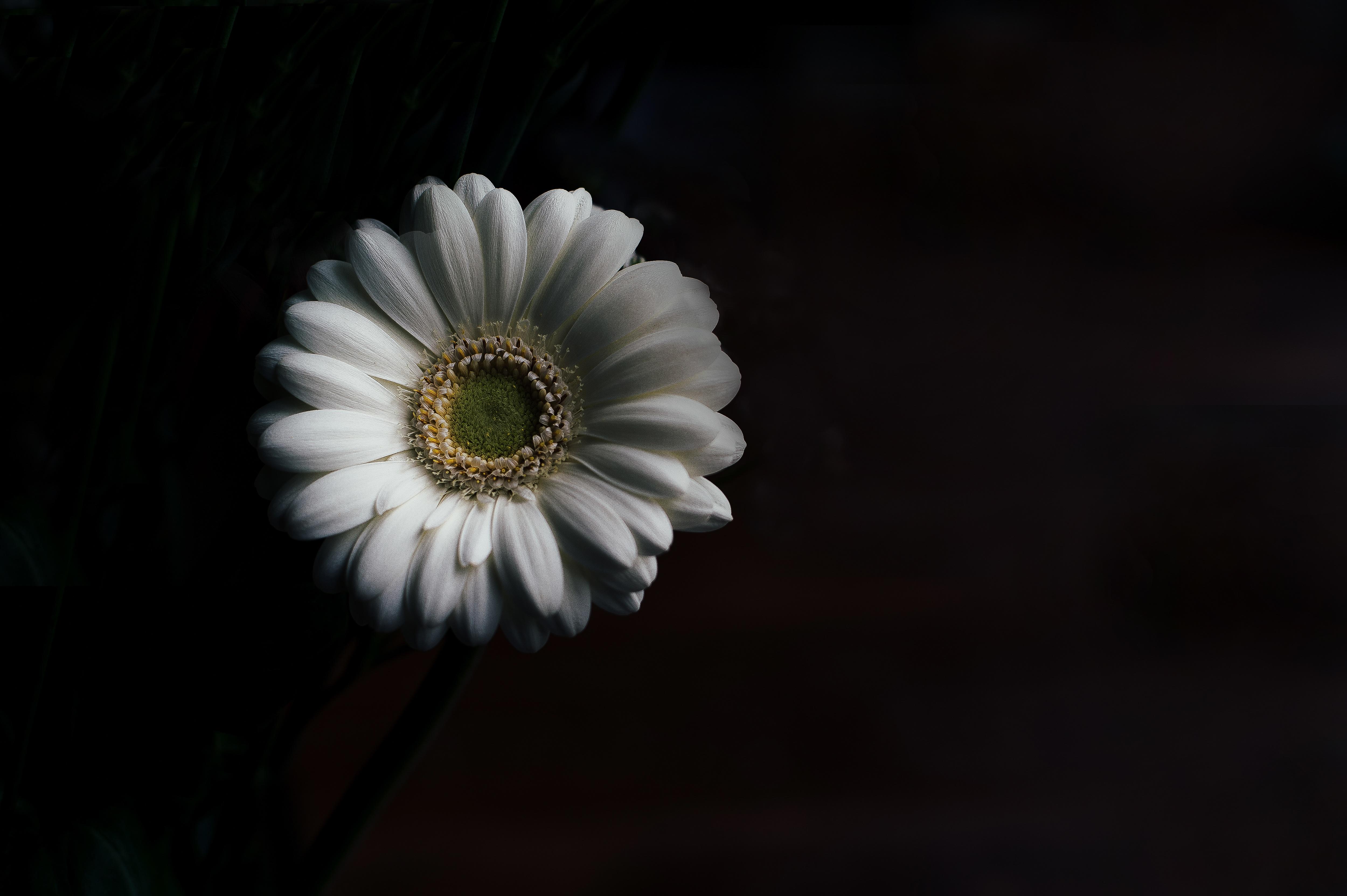 Gambar Hitam Dan Putih Menanam Daun Bunga Gelap Bunga Aster