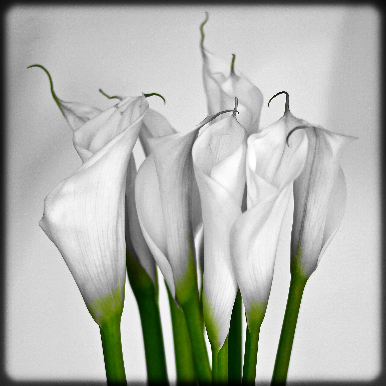 Images Gratuites Noir Et Blanc Fleur Pétale Tulipe