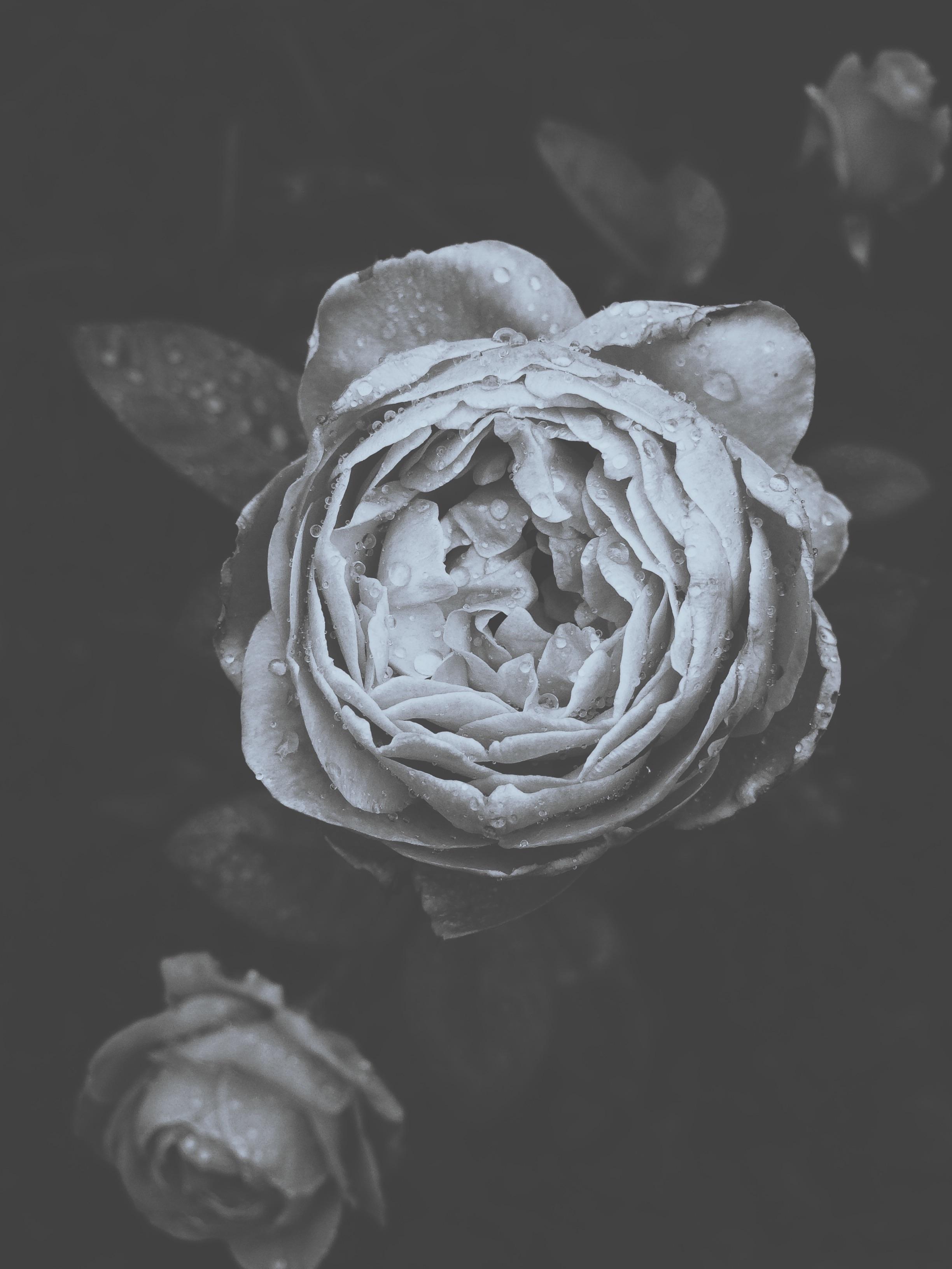 Gambar Hitam Dan Putih Menanam Daun Bunga Satu Warna