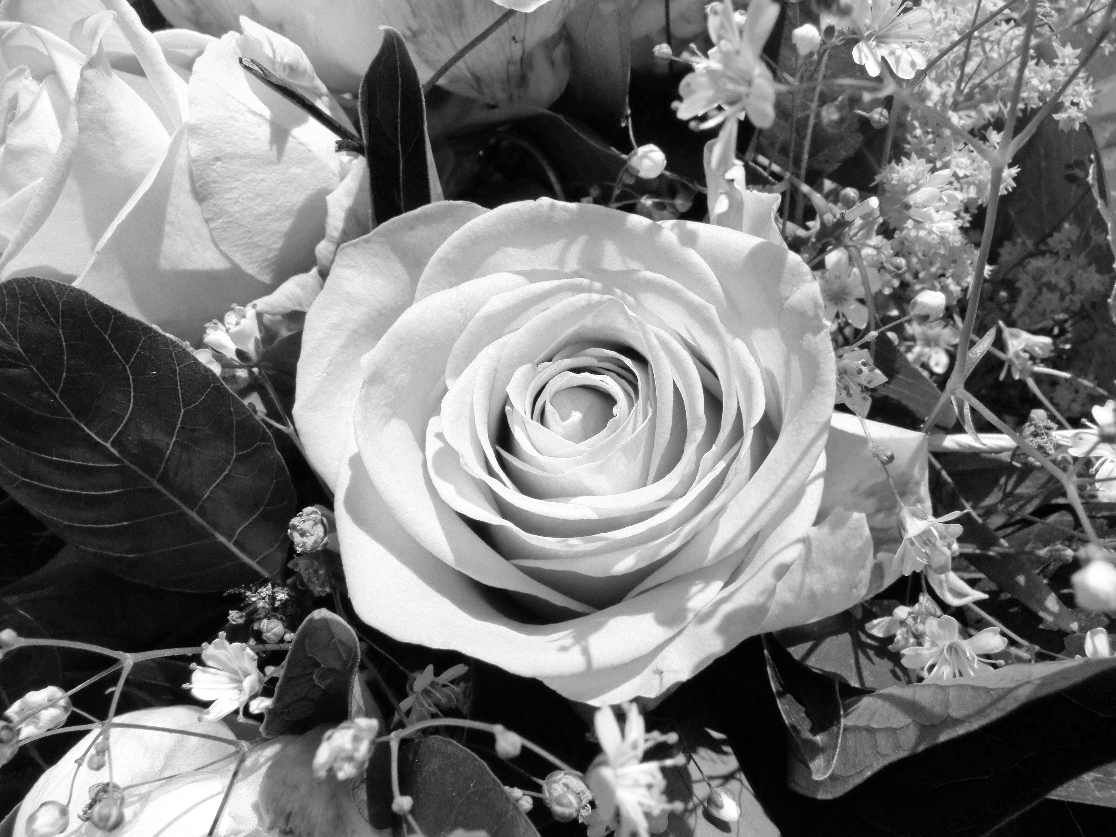 розы черно белые фотографии душа имеет запросы
