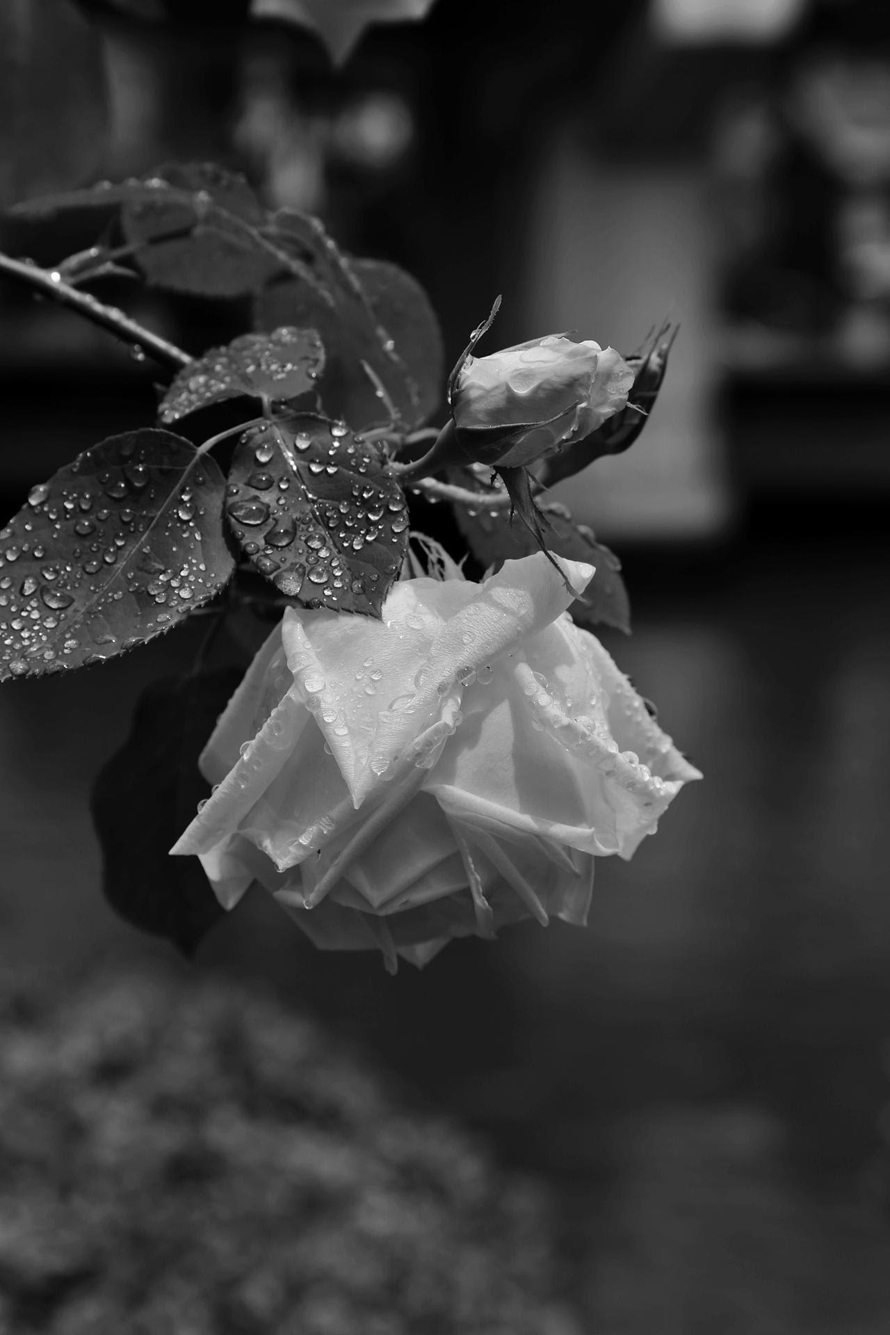 Gambar Hitam Dan Putih Menanam Hujan Daun Bunga Mawar Musim
