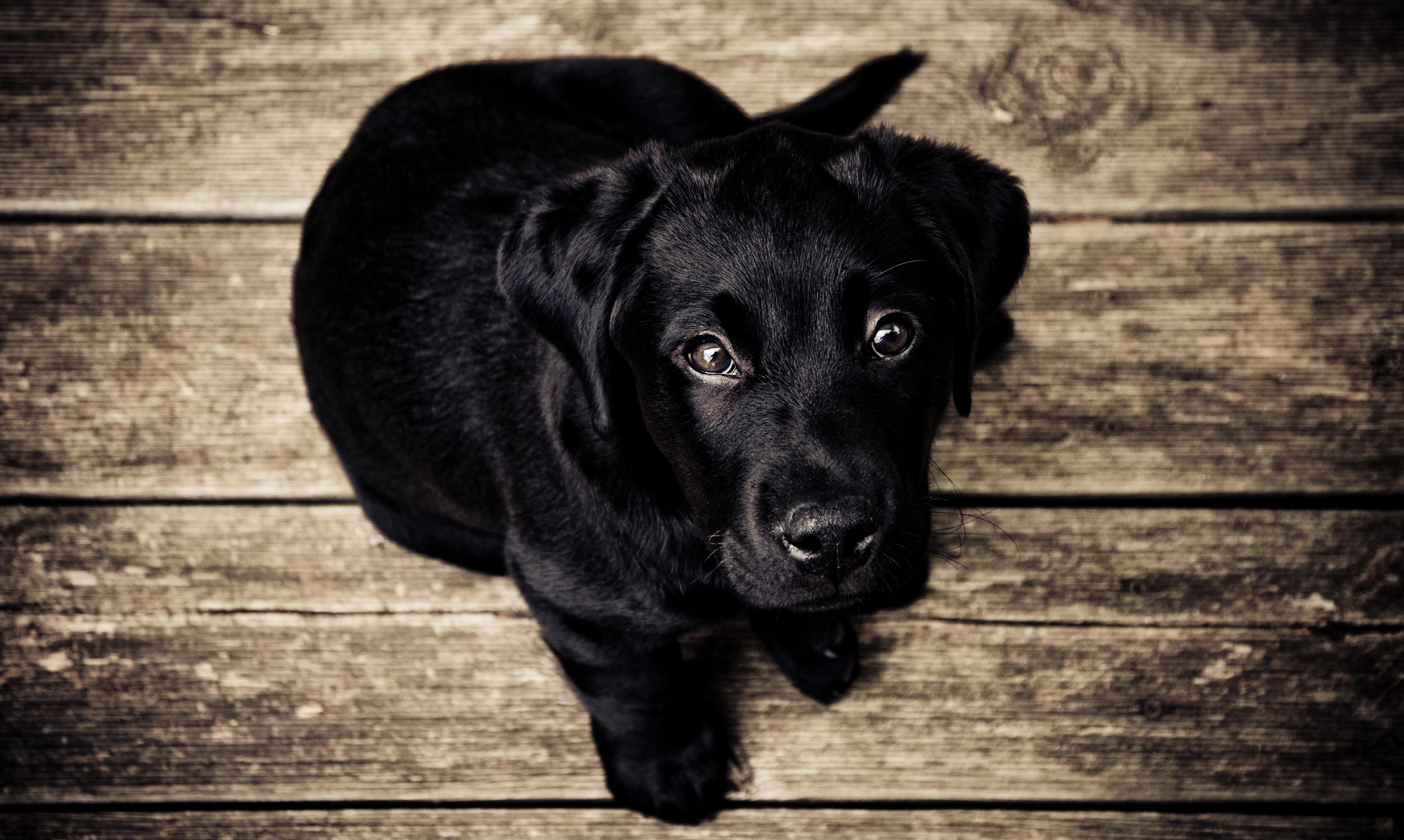 Popular Labrador Retriever Black Adorable Dog - black-and-white-puppy-dog-animal-cute-canine-mammal-black-monochrome-vertebrate-labrador-retriever-retriever-monochrome-photography-dog-like-mammal-162  Pic_33913  .jpg