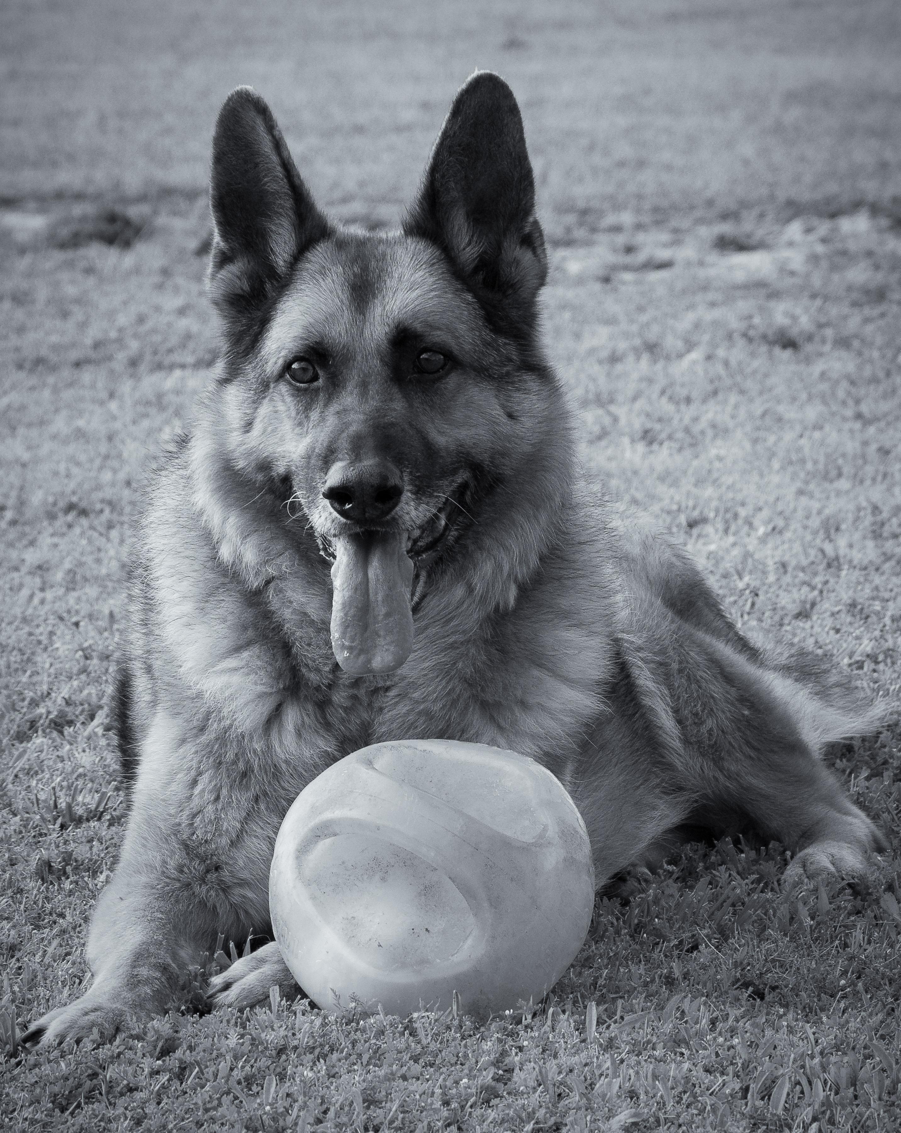 Herlig Bildet : svart og hvit, valp, dyr, german shepherd, gjeter BO-14