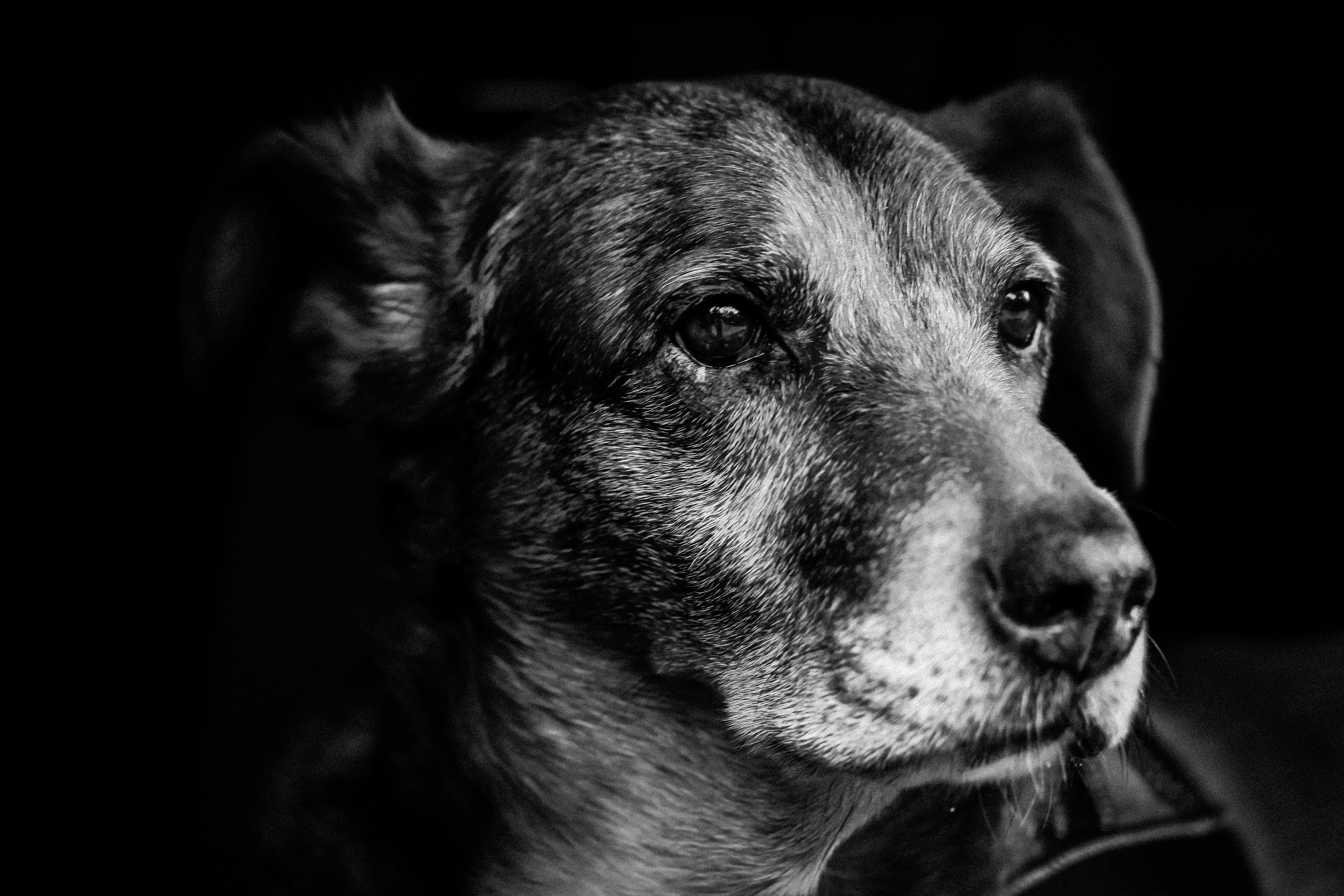 Free images black and white puppy pet fur portrait friendship